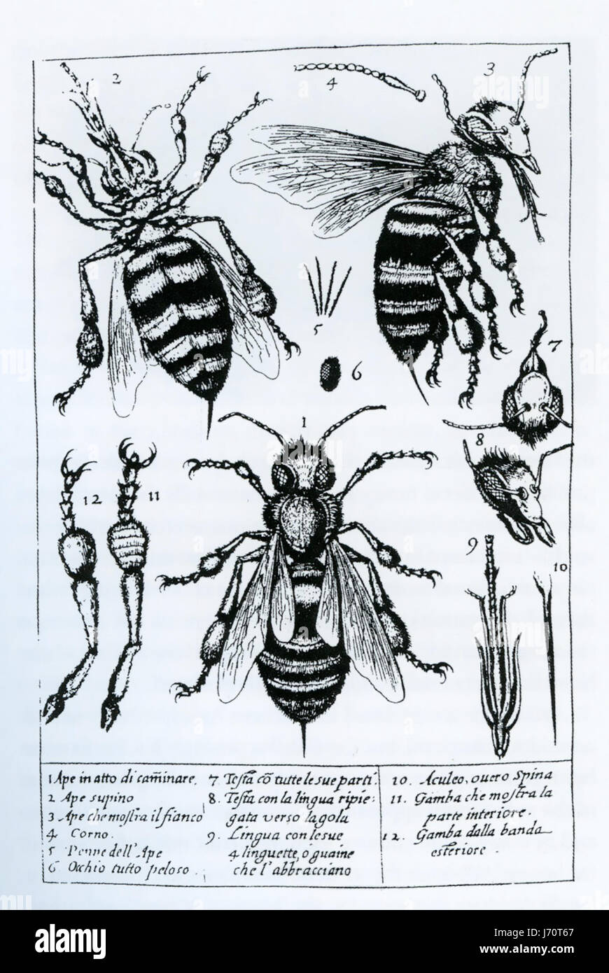 FRANCESCO STELLUTI (1577-1652), mathématicien italien. Les dessins de son microscope 1630 livre 'Perico Photo Stock