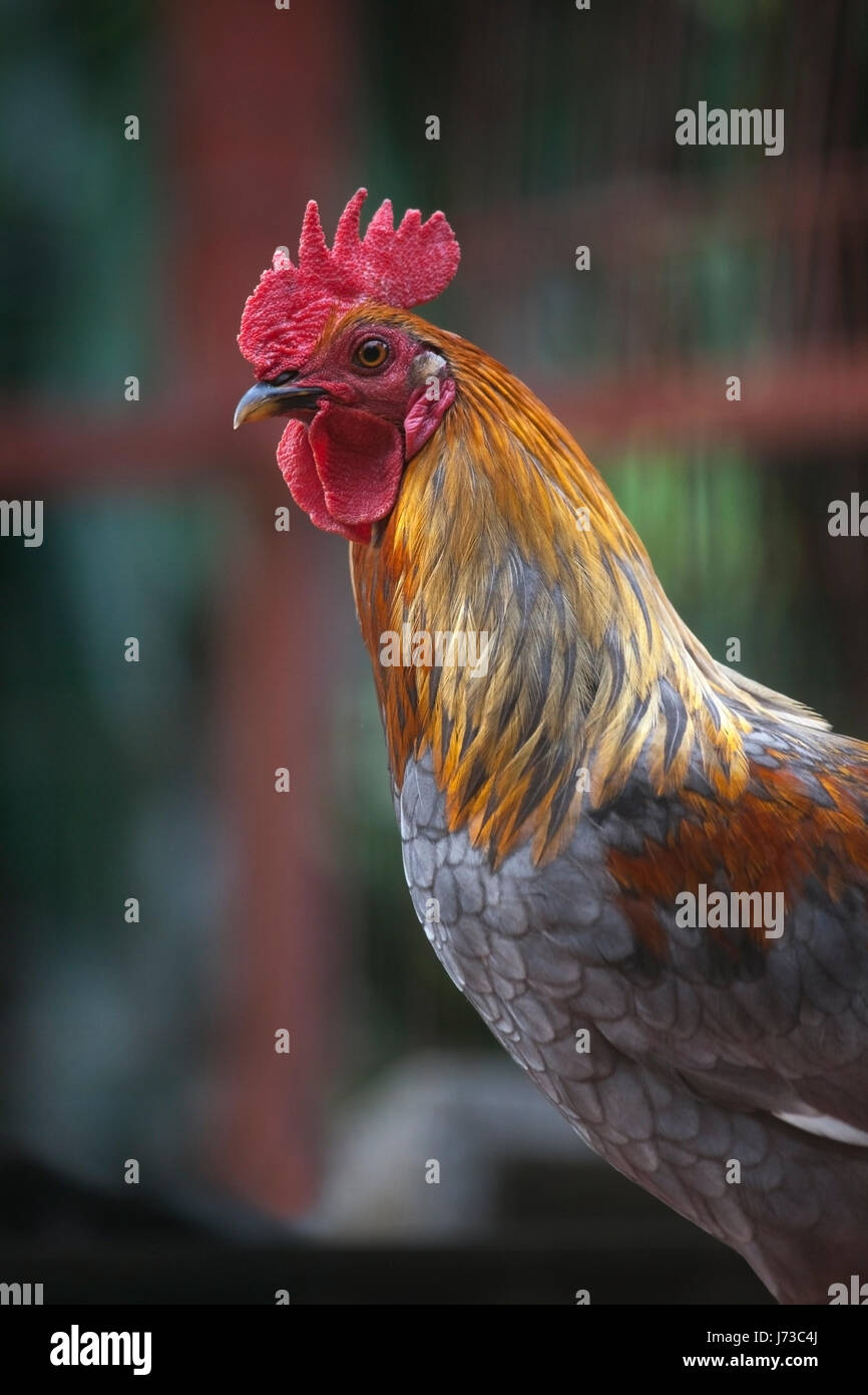 Rooster Photo Stock