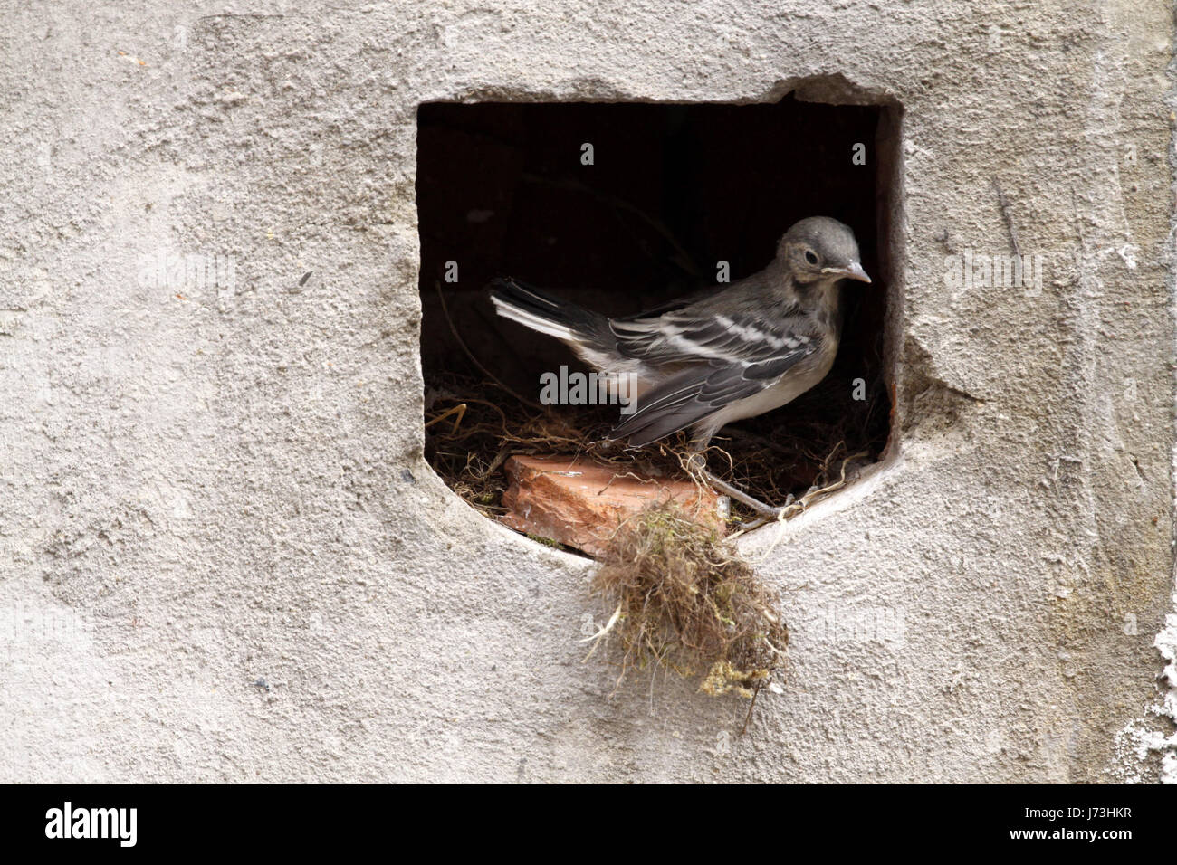 Le chant des oiseaux oiseaux nichent les oiseaux oiseaux échassiers goglus bergeronnette oiseaux nichent feed Banque D'Images