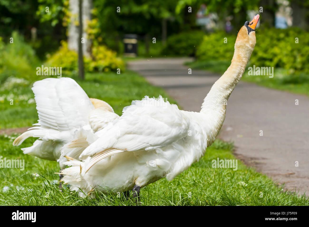 Swan. Cygne tuberculé blanc adulte (Cygnus olor),s'étend son cou dans l'air à la fin du printemps au Royaume-Uni. Banque D'Images