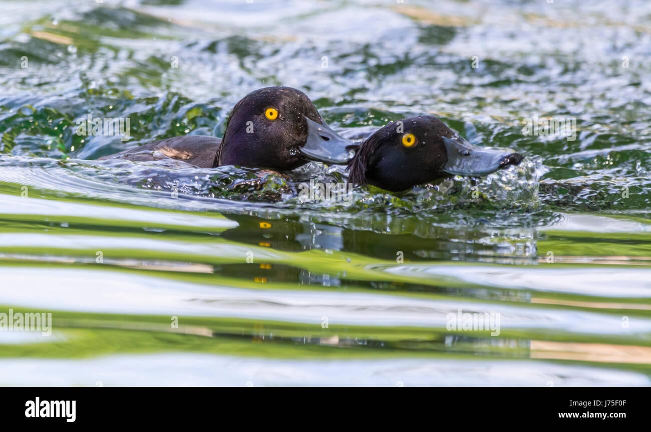 Paire de touffes (Aythya fuligula) dans l'eau et lutte contre la poursuite de l'autre au printemps dans le West Sussex, Royaume-Uni. Banque D'Images