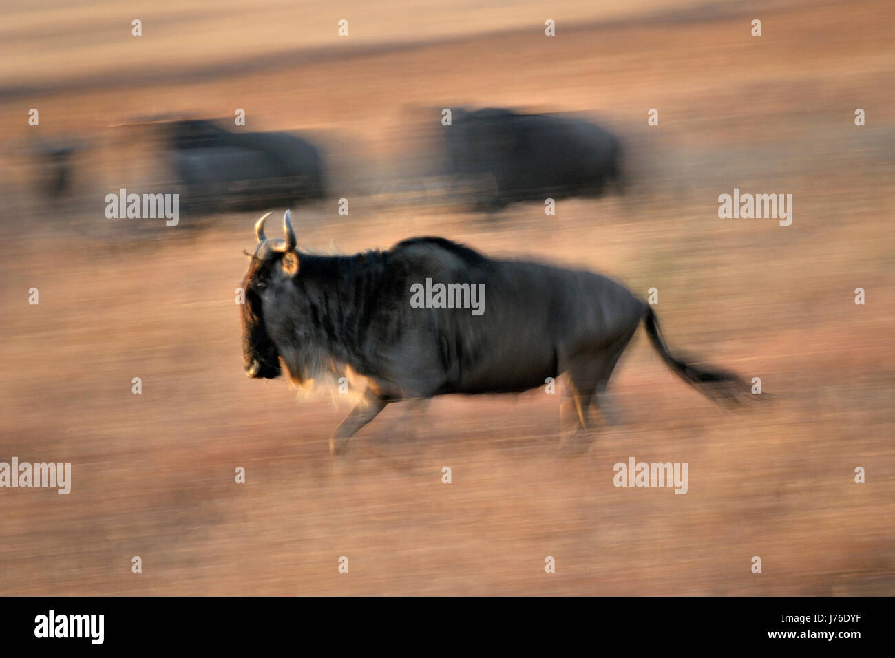 Le Gnou (Connochaetes taurinus) fonctionnant pendant la migration avec le flou, le Parc National du Serengeti, Tanzanie. Photo Stock