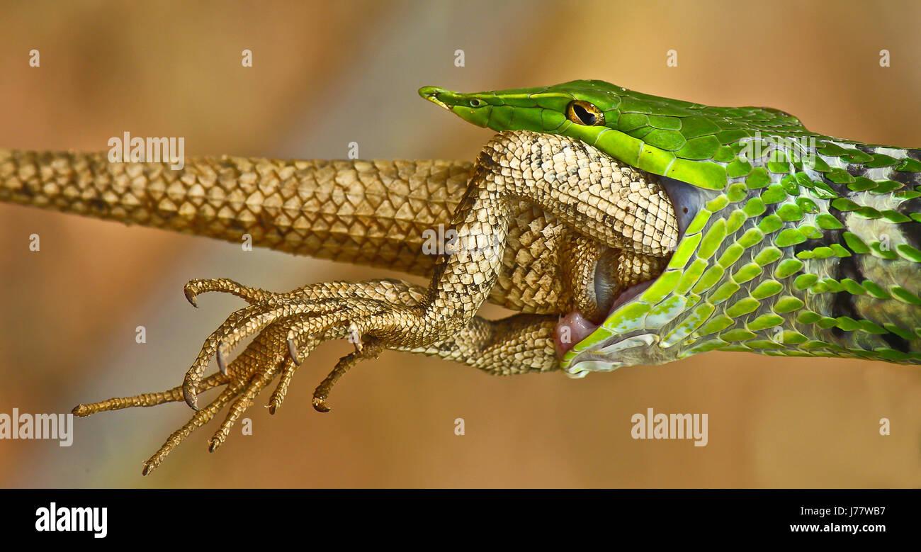Un serpent de vigne verte datant d'un lézard - Jardin Banque D'Images