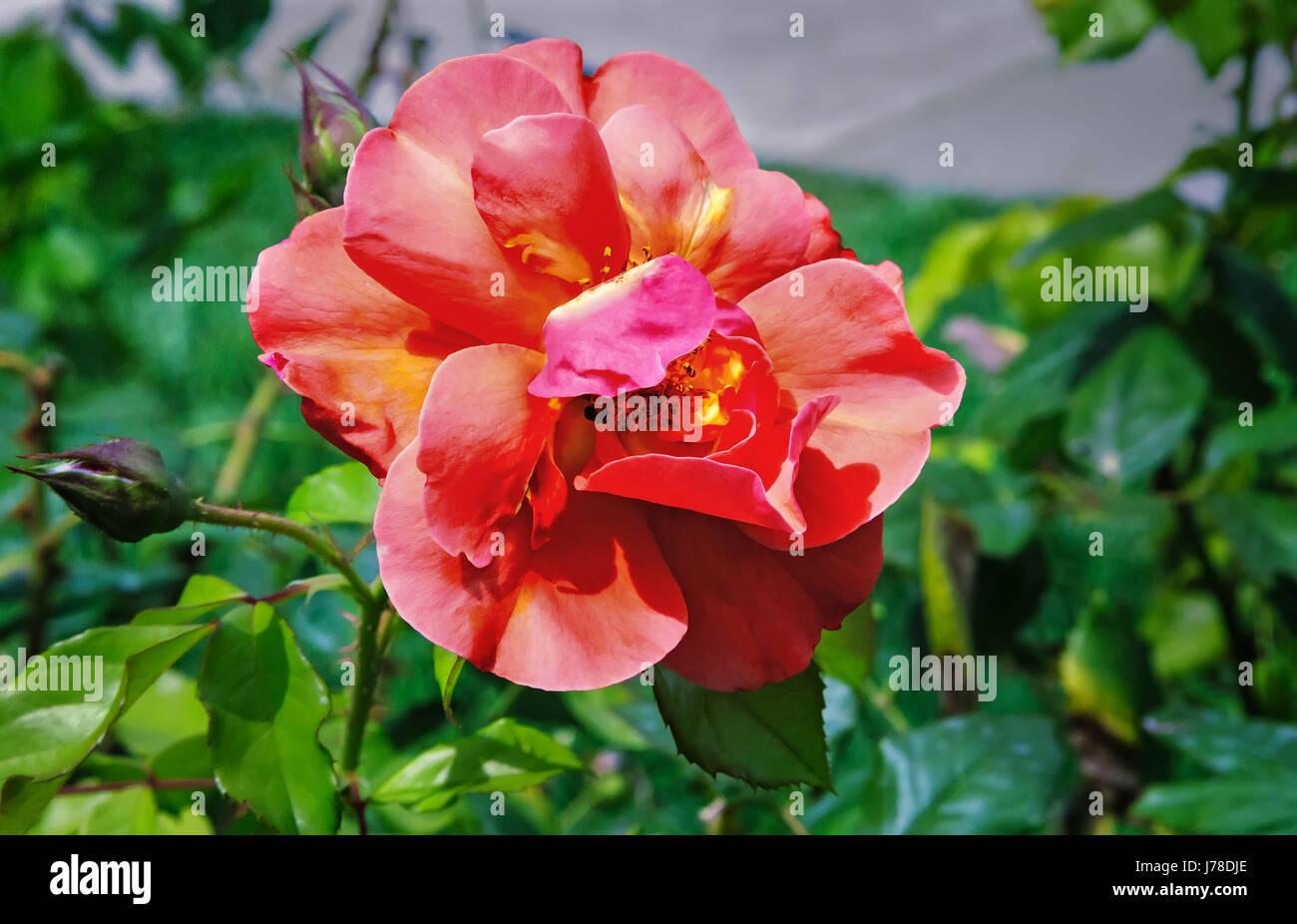 Belle Fleur Rose Rose Hybride De The Qui Fleurit Dans Le Jardin