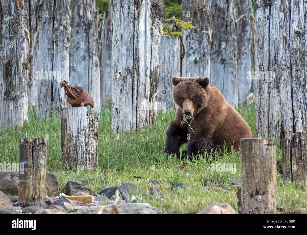 Grizzli mange de l'herbe dans le sud-est de l'Alaska Photo Stock