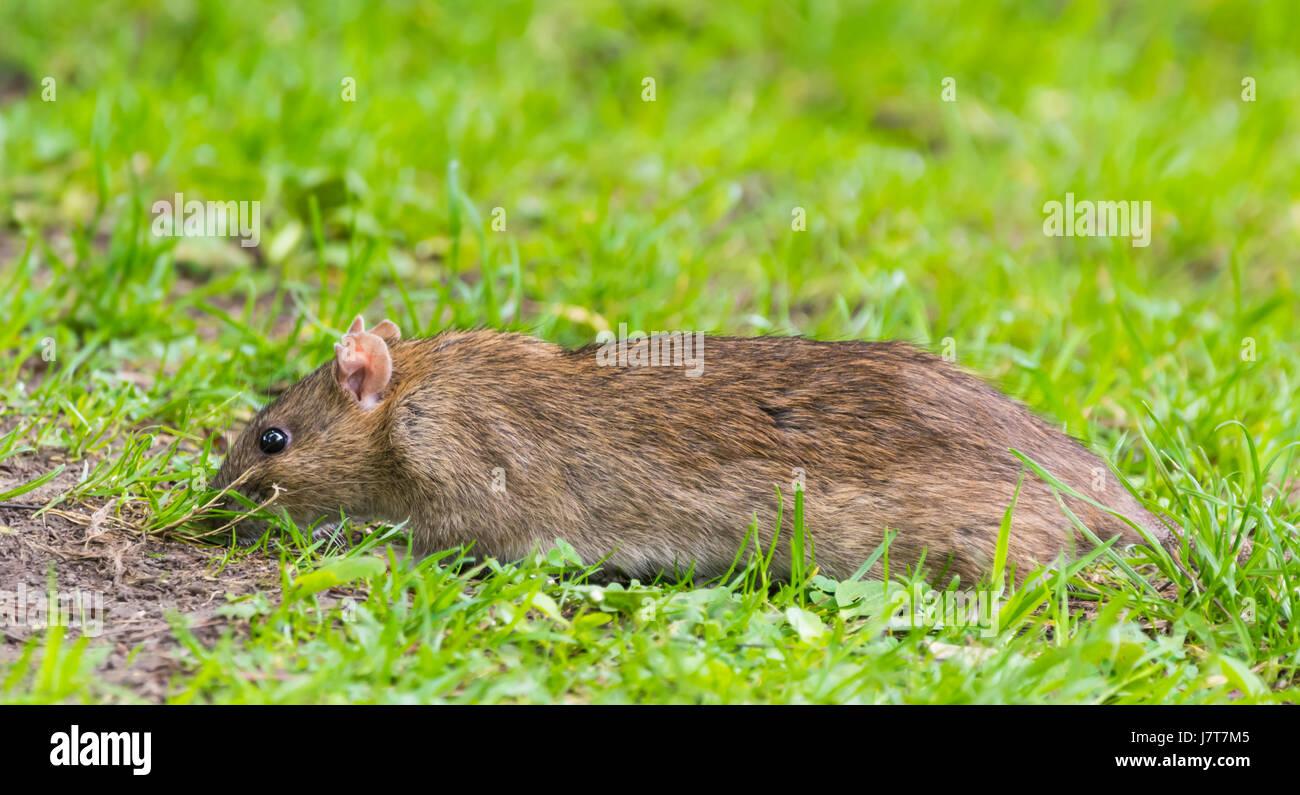 Rat dans l'herbe à l'extérieur à la recherche de nourriture. Photo Stock