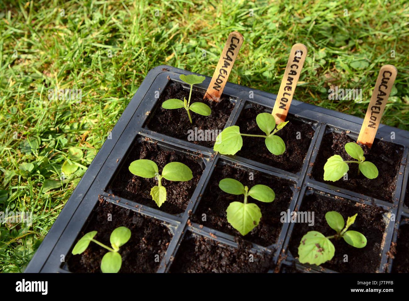 cucamelon les semis de vraies feuilles dans le bac de semences d