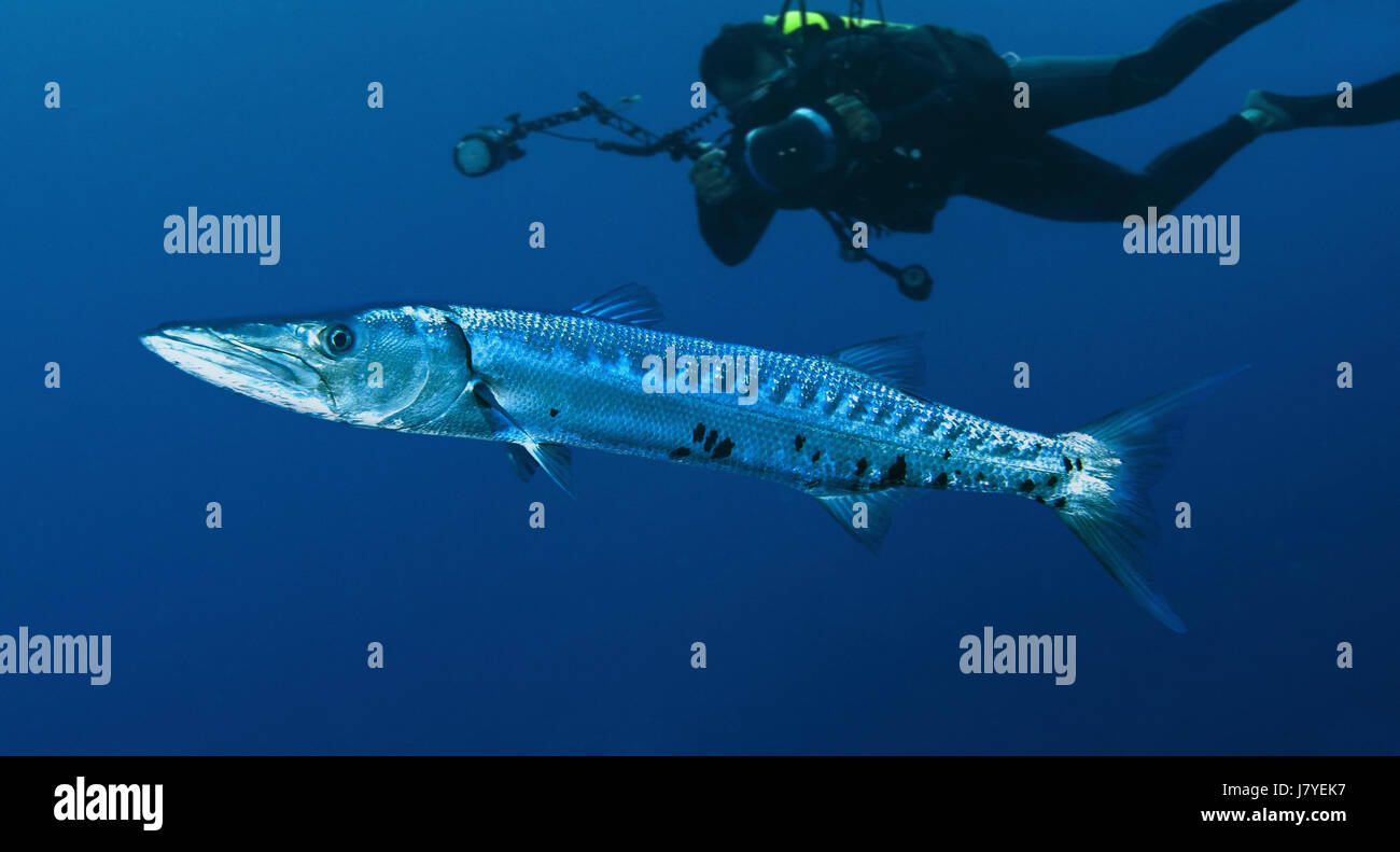 Grand barracuda, barracuda Sphyraena. Avec plongeur. Portugal Photo Stock