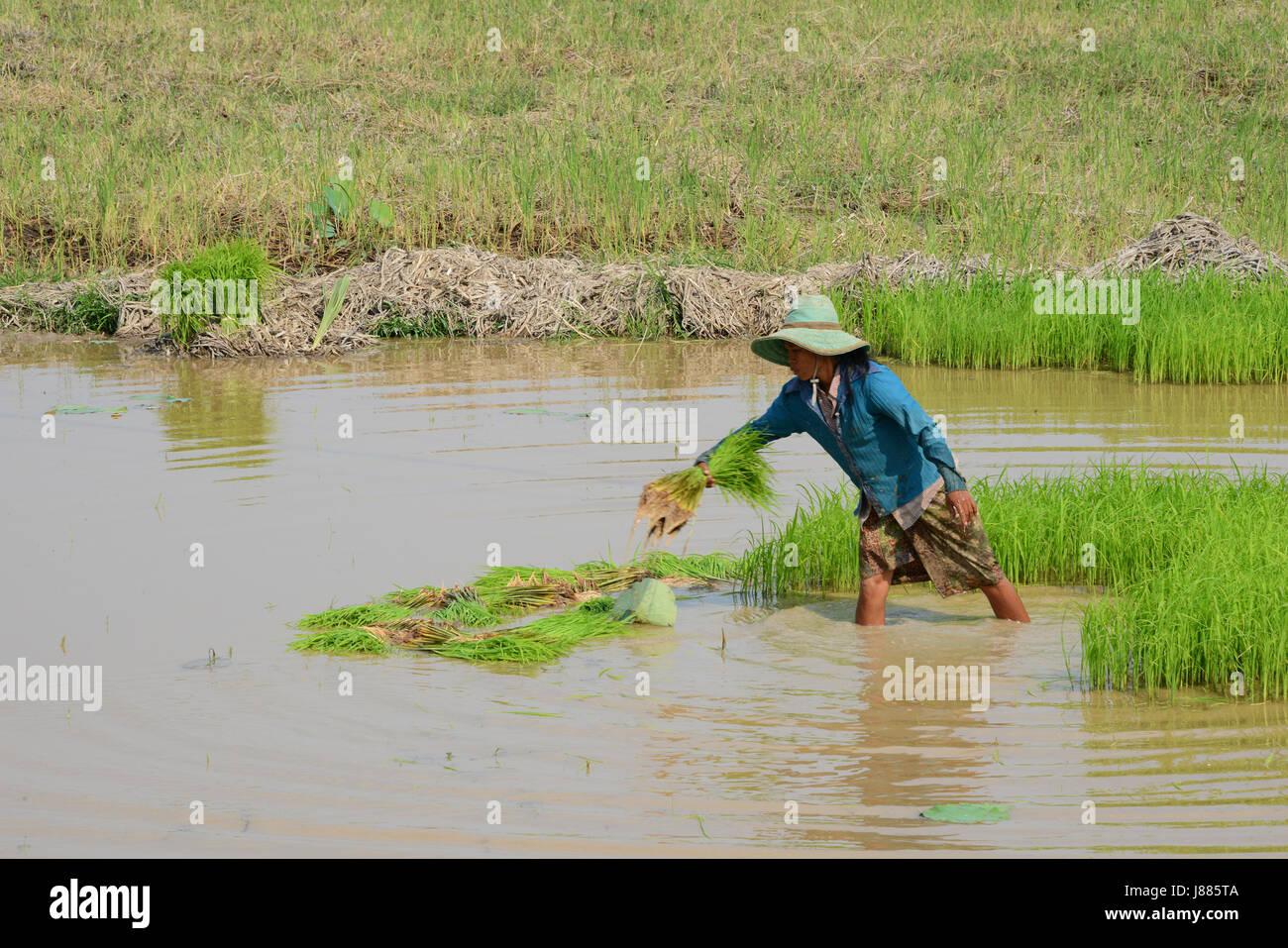 Travaillant dans les rizières de la province de Siem Reap, Cambodge Banque D'Images