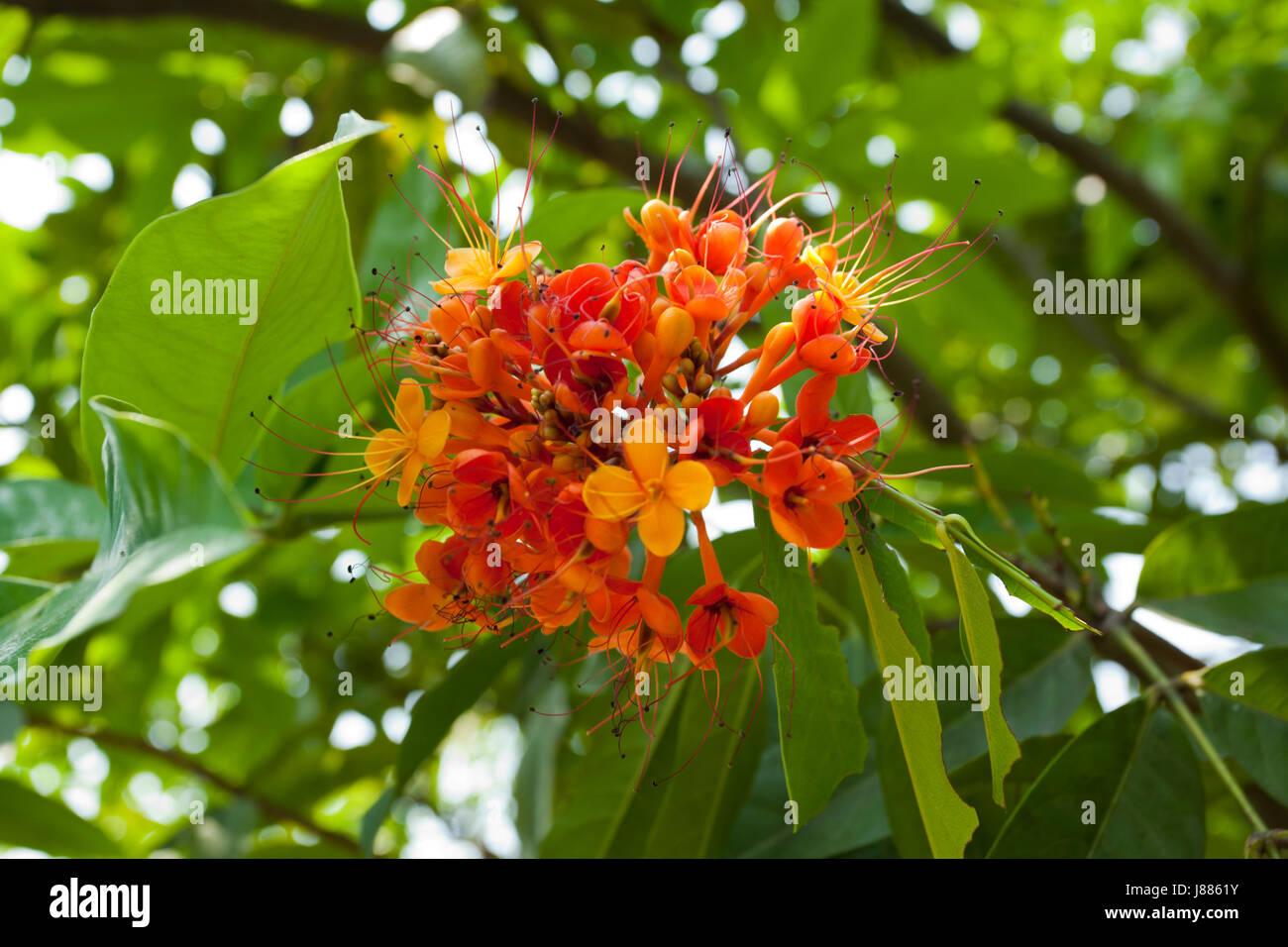 nom local de la fleur est ashok phul nom anglais est asoca arbre couleur orange jaun tre. Black Bedroom Furniture Sets. Home Design Ideas