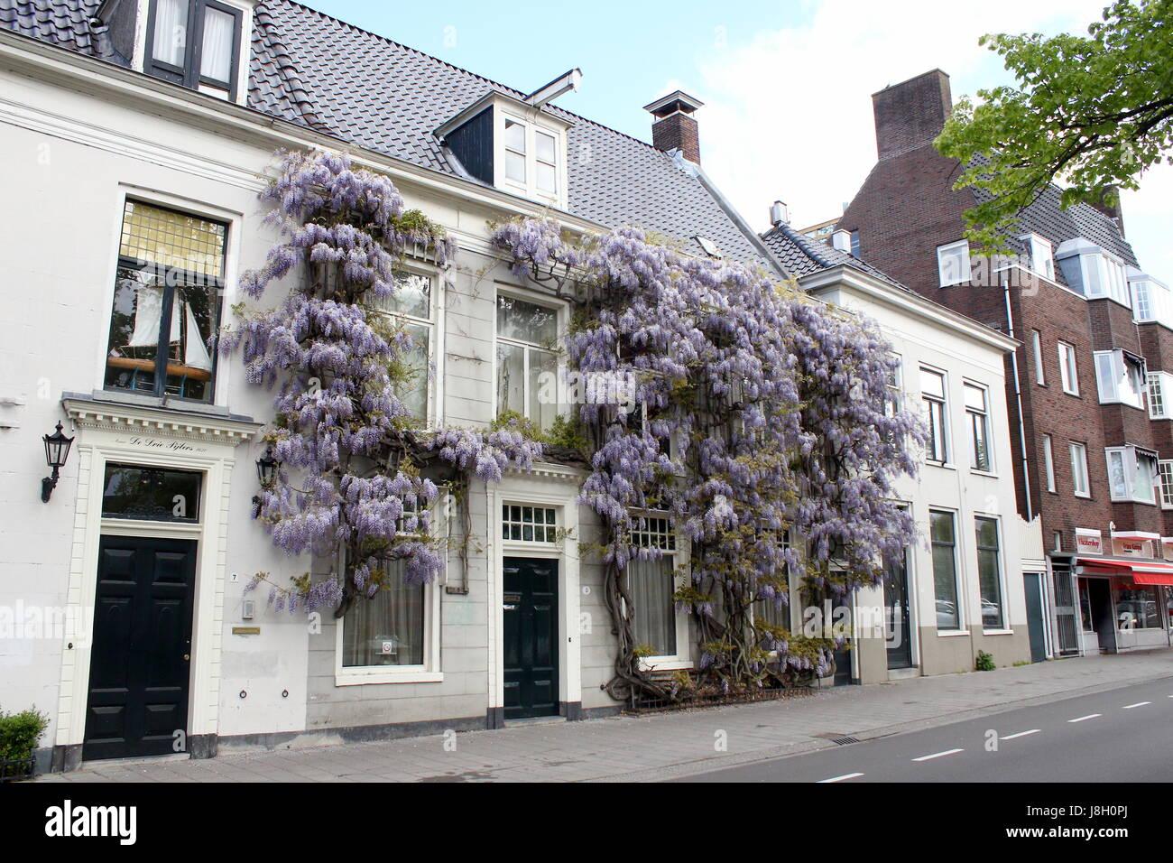 tr s grandes fleurs de glycine dans une maison le long du canal noorderhaven groningen pays. Black Bedroom Furniture Sets. Home Design Ideas