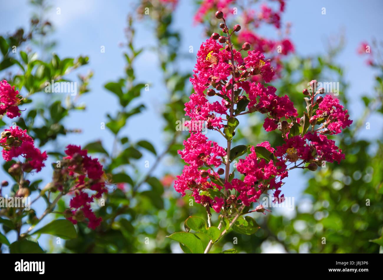 arbre, fleur, fleurs, plantes, myrtle, rouge, belle, beauteously