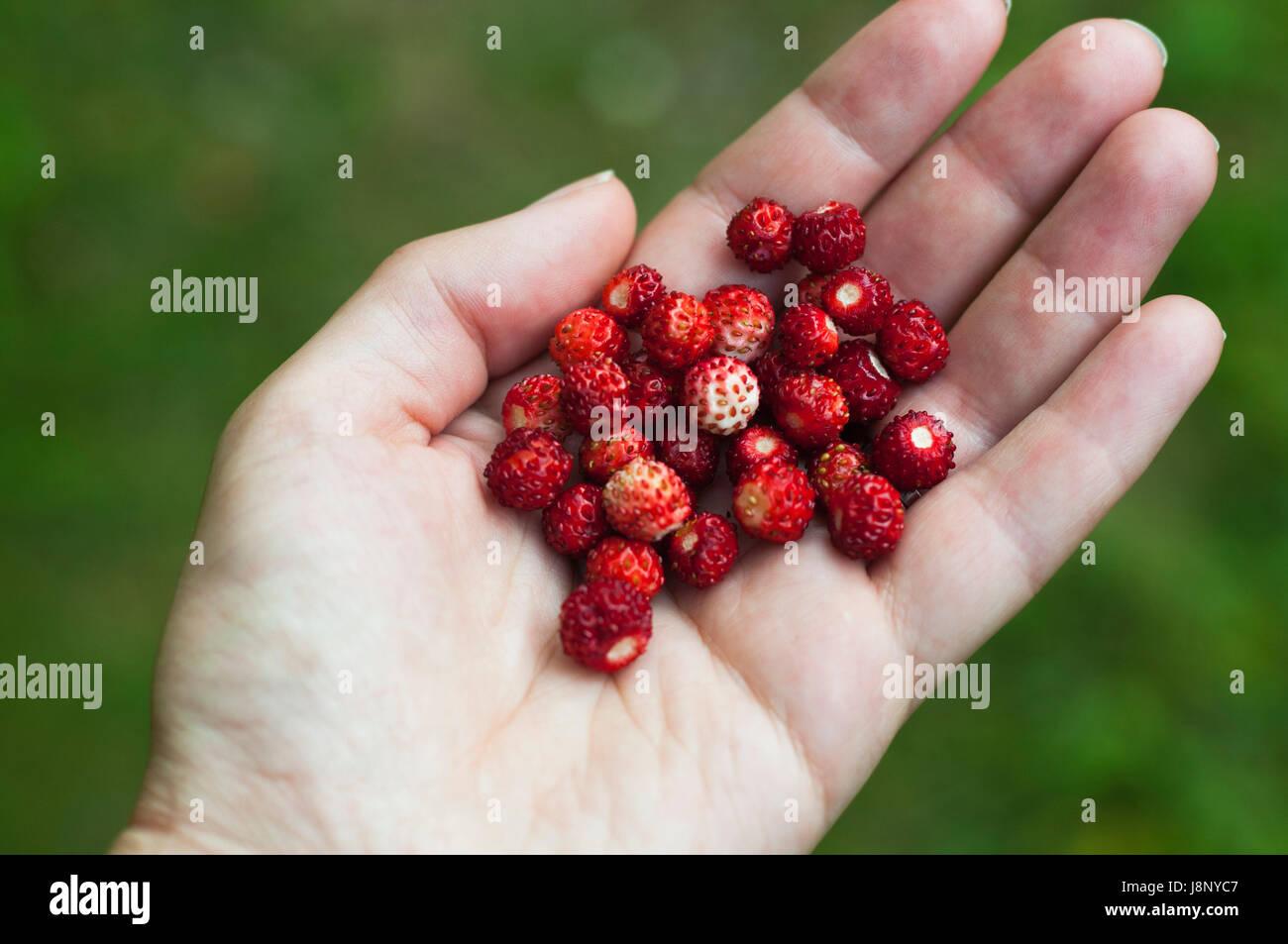 Femme tenant les fraises des bois Banque D'Images