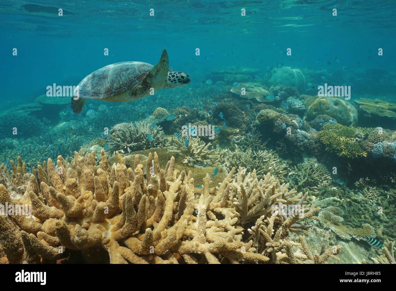 Un sous-marin tortue de mer verte nage sur un récif corallien sain avec des poissons, Nouvelle Calédonie, Photo Stock