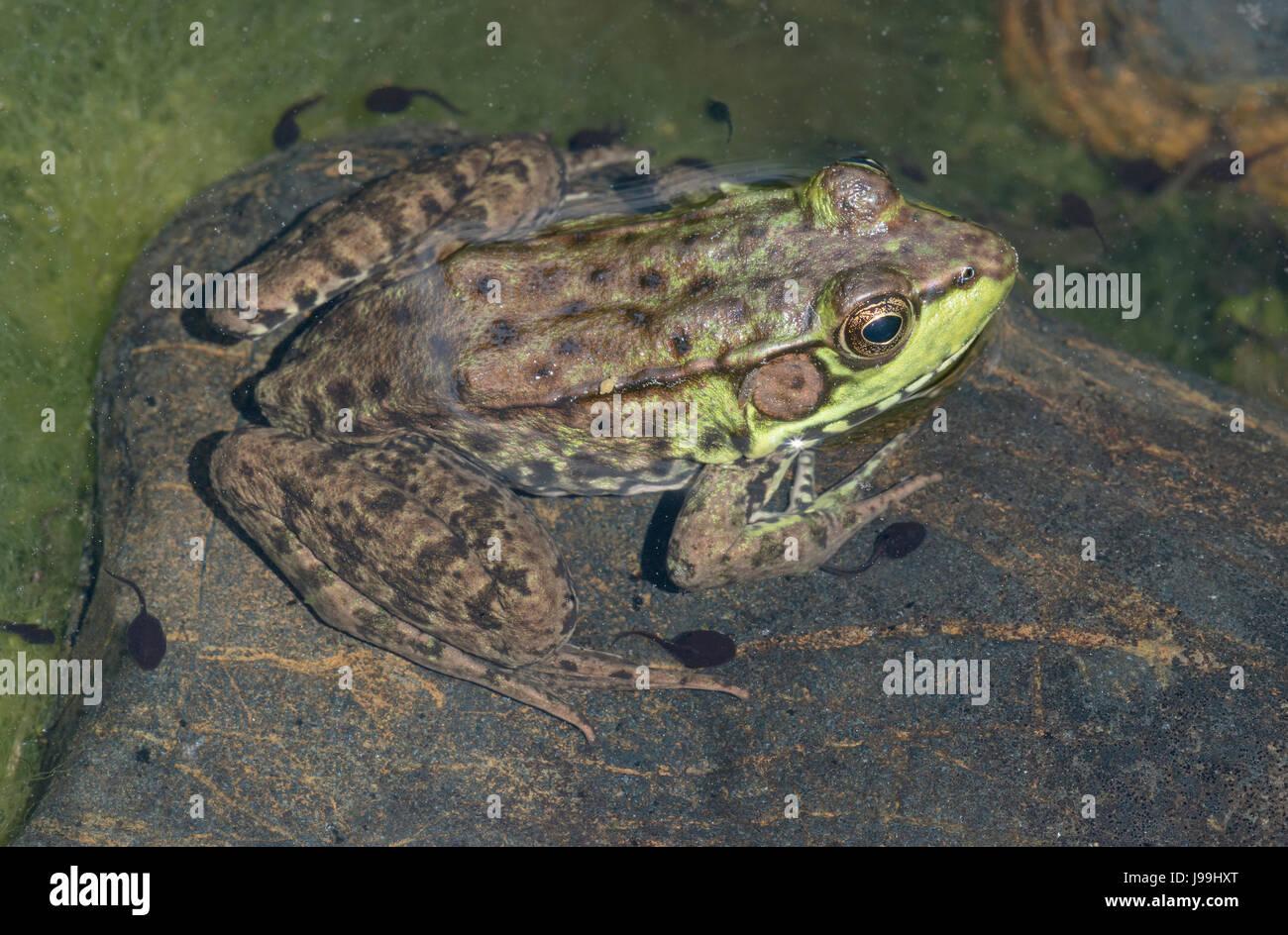 Grenouille verte (Lithobates clamitans) reposant sur le roc en étang, E USA Banque D'Images