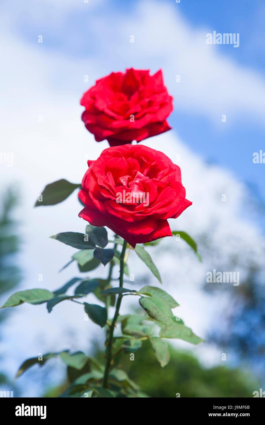 Roses Rouges Sur Fond De Ciel Bleu Rosier Grimpant Rouge Isole Sur