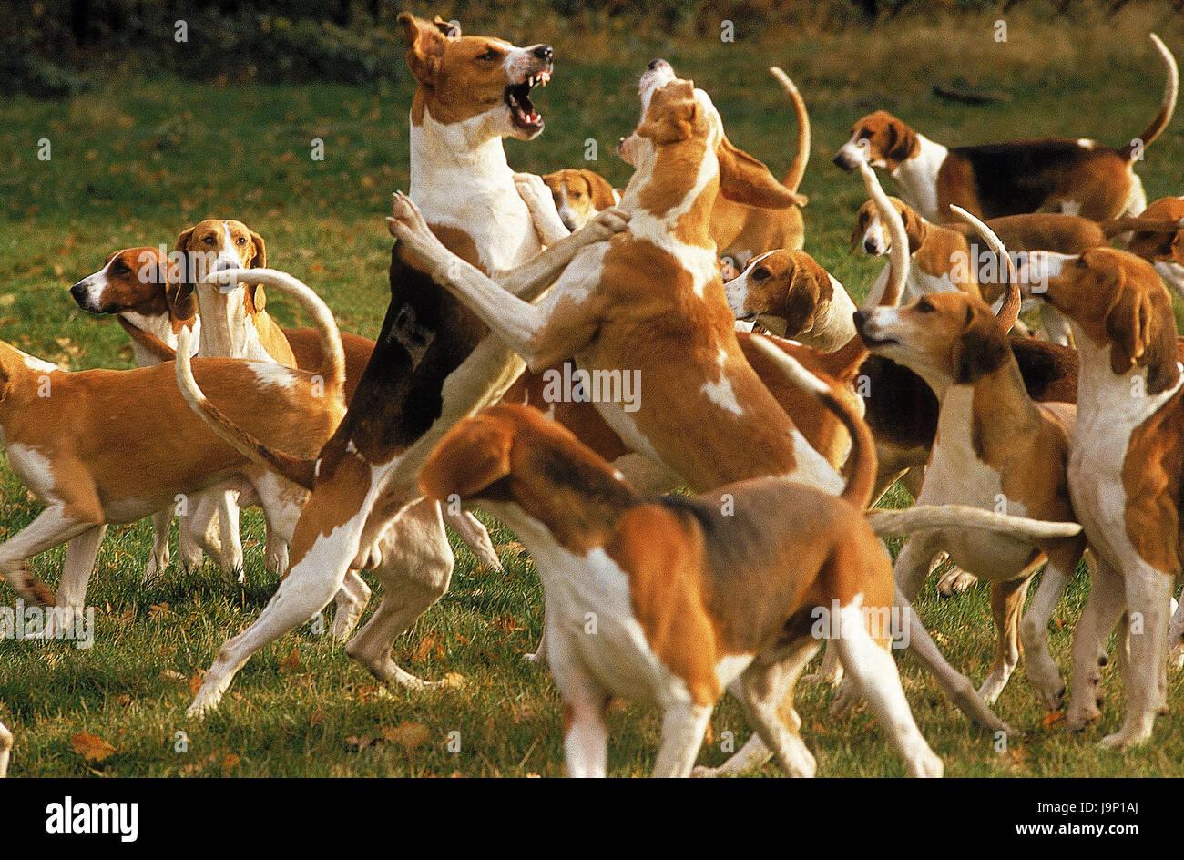 Les chiens,Grand Anglo Francais Tricolore,Grand Anglo Francais Blanc et orange, lutte, Photo Stock