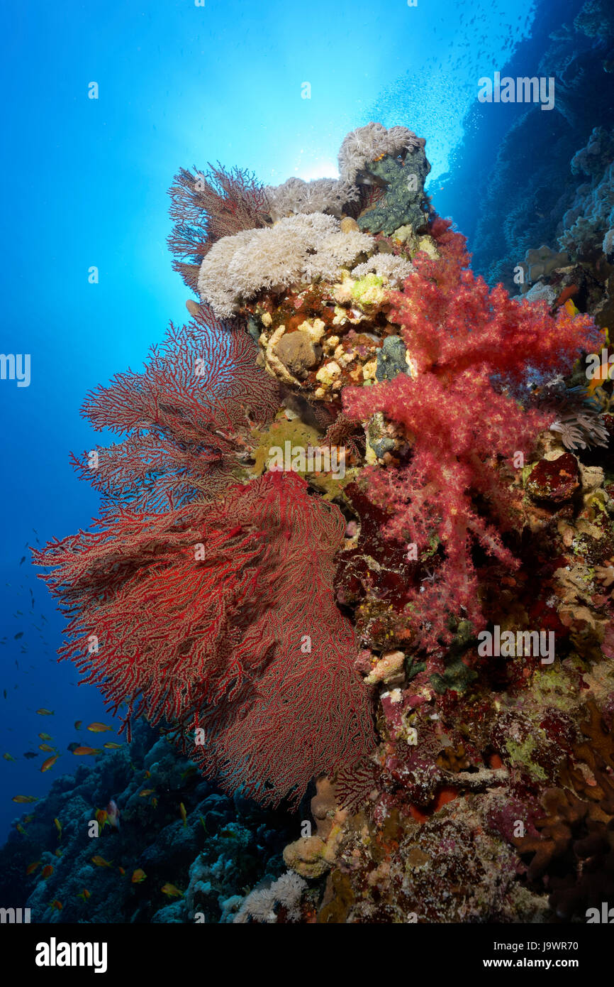 Reef norwegen sur coral reef, falaise, couverte de divers coraux (Dendronephthya klunzingeri), (Acabaria splendens) Photo Stock