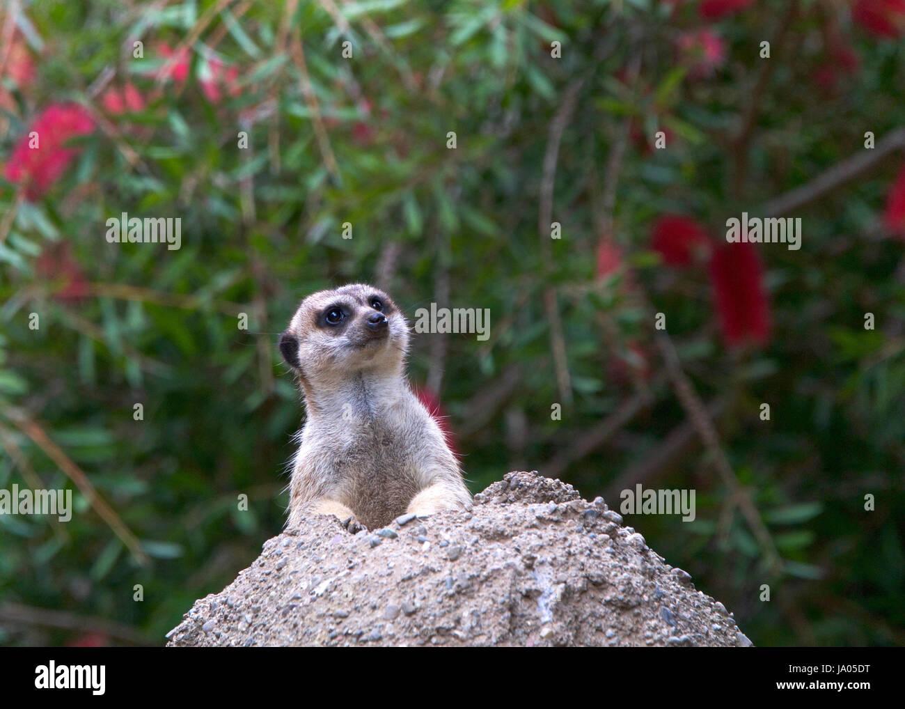 Un meerkat peeking out d'un trou dans une colline rocheuse à la recherche de prédateurs. Le meerkat Photo Stock