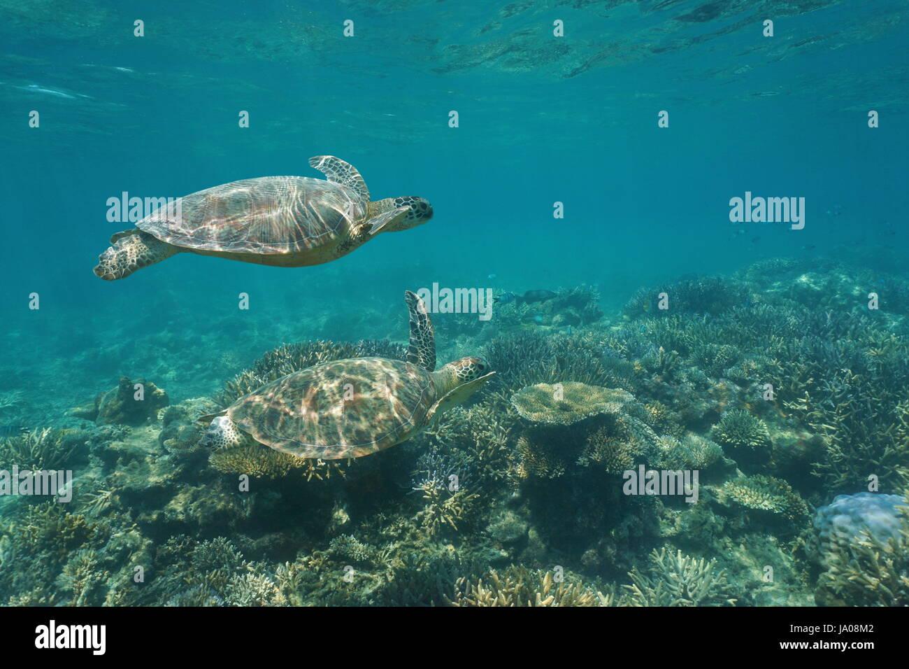 Deux tortues de mer vertes Chelonia mydas nage sous l'eau sur un récif de corail, l'océan Pacifique Photo Stock