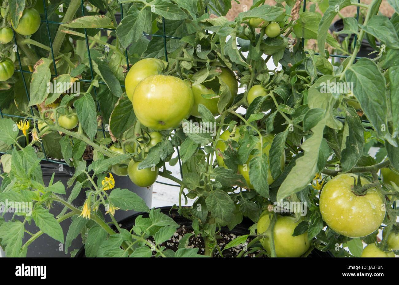 Central Florida home bio jardin avec des plants de tomates et de légumes à l'arrière-cour pour une saine alimentation Banque D'Images