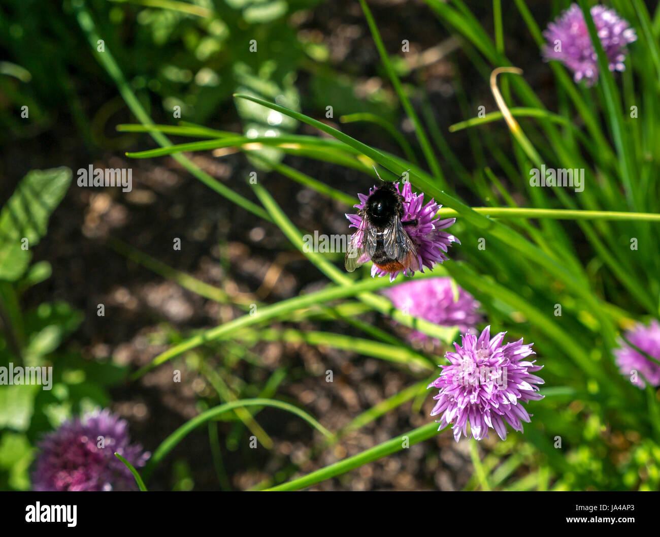 Gros plan de Bombus lapidarius, bourdon à queue rouge, sur la fleur de la ruche pourpre, Allium schoenoprasum, Écosse, Banque D'Images