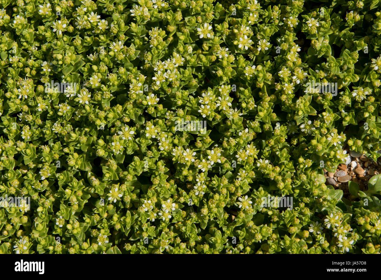Orpin, Sedum anglicum anglais, la floraison sur les galets de la plage de Chesil, Dorset, Mai Banque D'Images