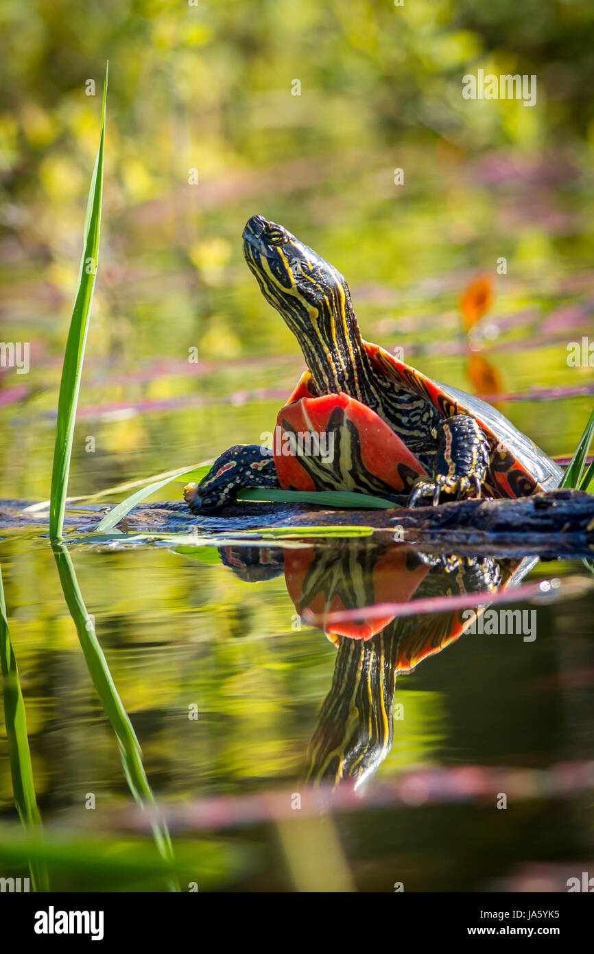 Une tortue peinte repose sur un journal en eau calme à Twin Lakes, Wisconsin. Photo Stock