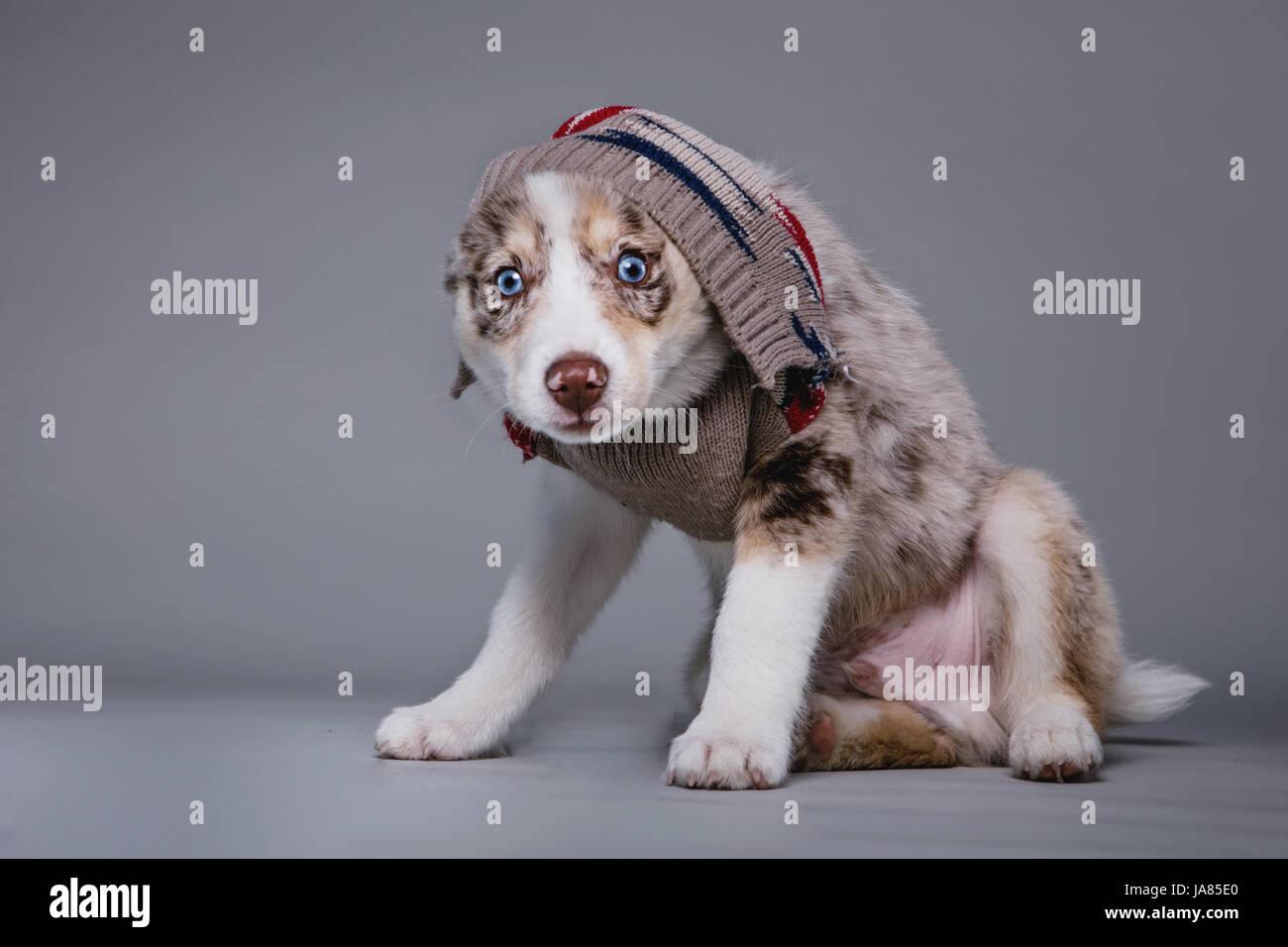 Portrait de Pomsky chiot avec un pull tiré au-dessus de sa tête, regardant la caméra. Banque D'Images