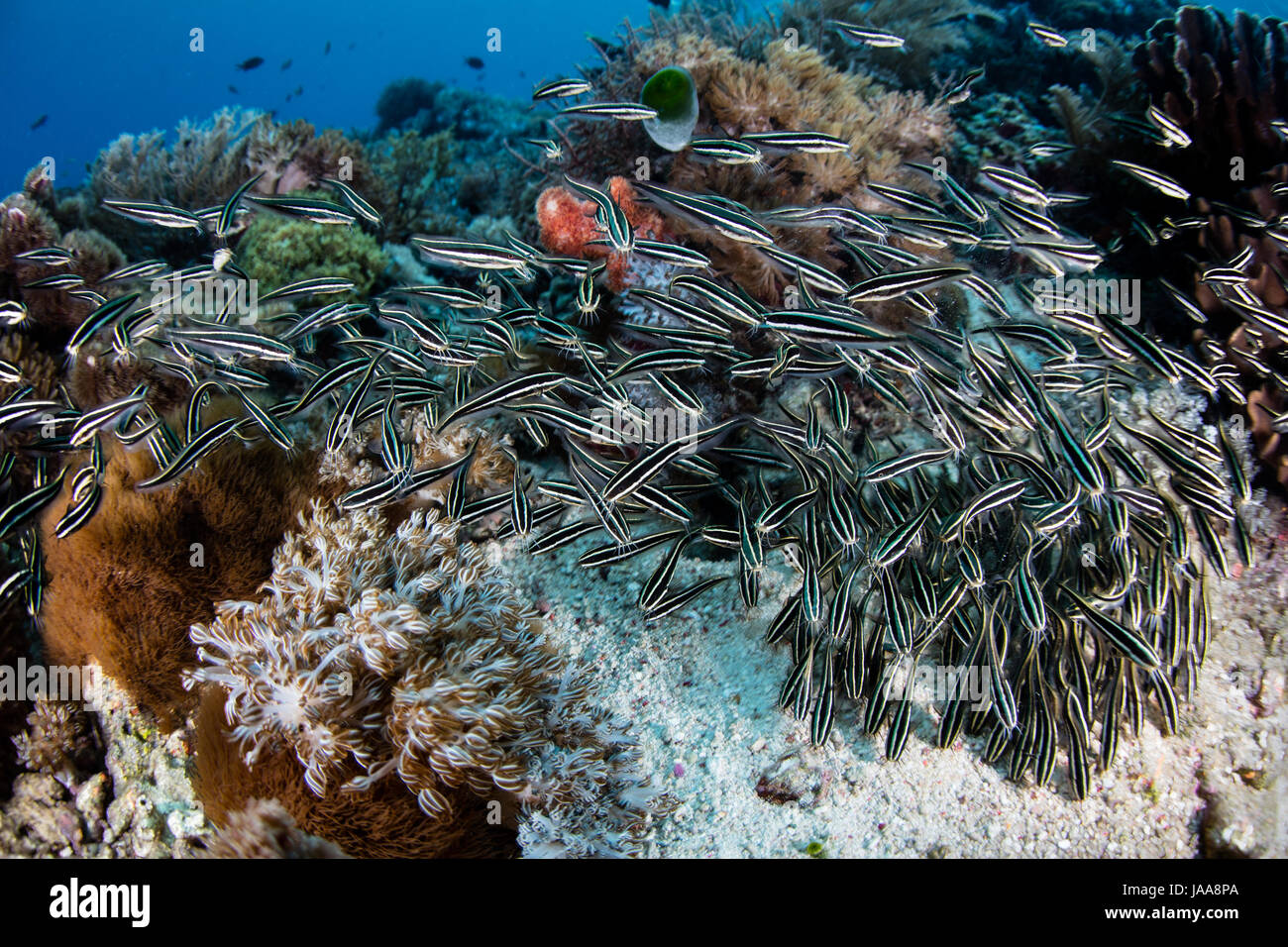 Une école de l'anguille, poisson-chat rayé Plotosus lineatus, swarm sur un récif de corail de Photo Stock