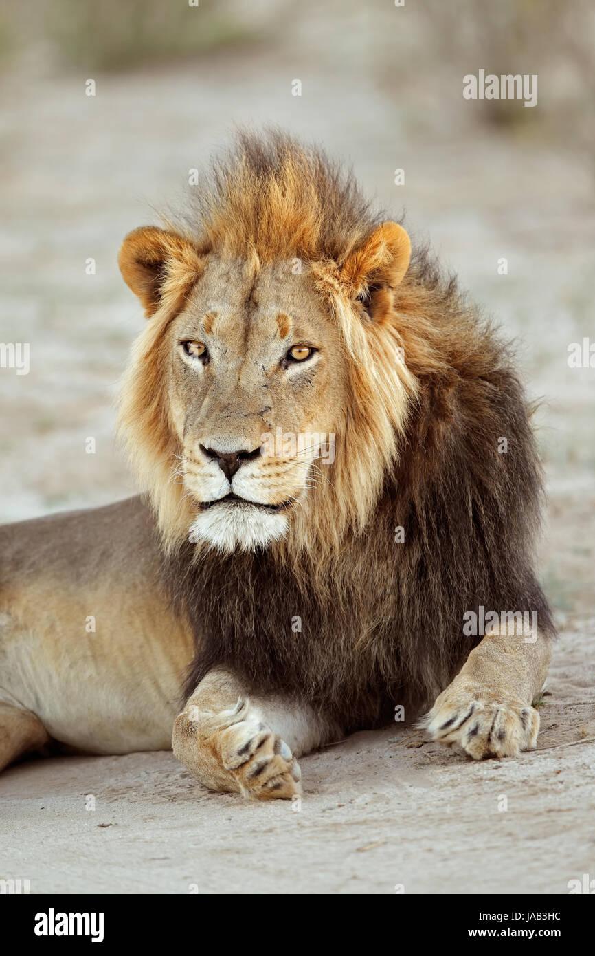 Portrait d'un grand mâle African lion (Panthera leo), Afrique du Sud Photo Stock