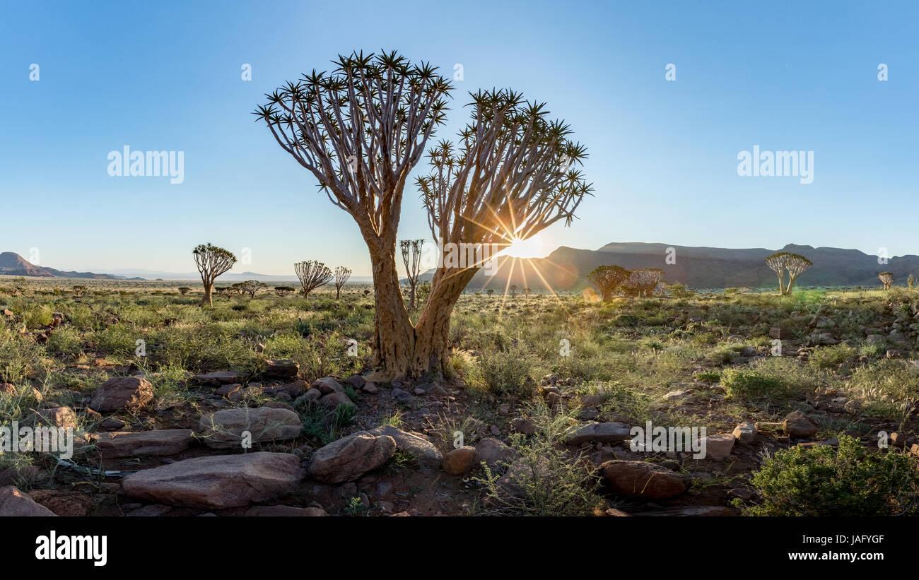 Quiver Tree (Aloe dichotoma) dans le Namib Rand Nature Reserve en Namibie Photo Stock