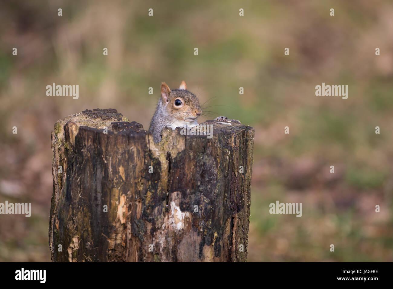 L'écureuil gris Sciurus carolinensis se reflète par derrière une souche d'arbre Photo Stock