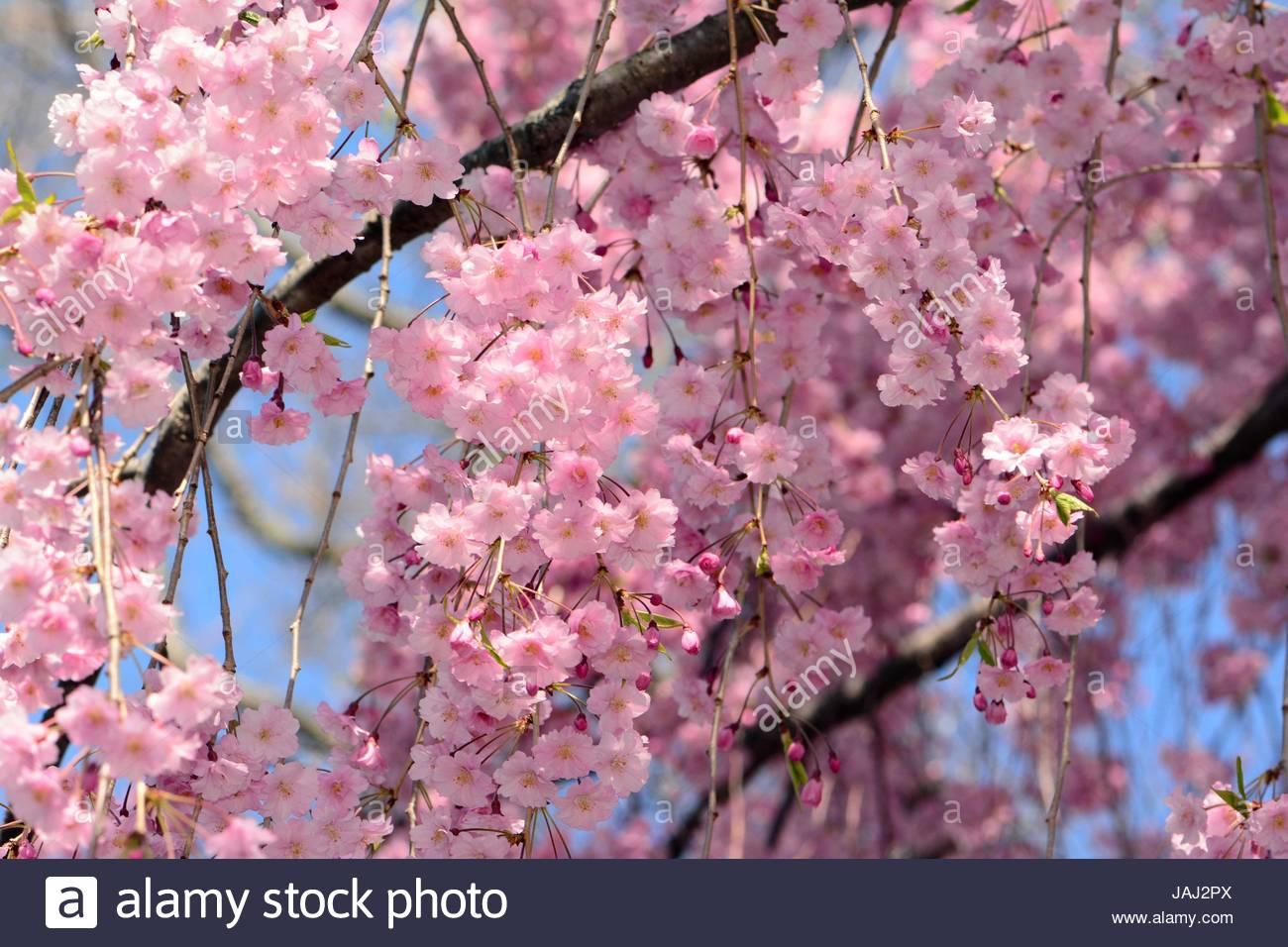 Un énorme affichage floral dans un cerisier pleureur higan, au printemps. Photo Stock