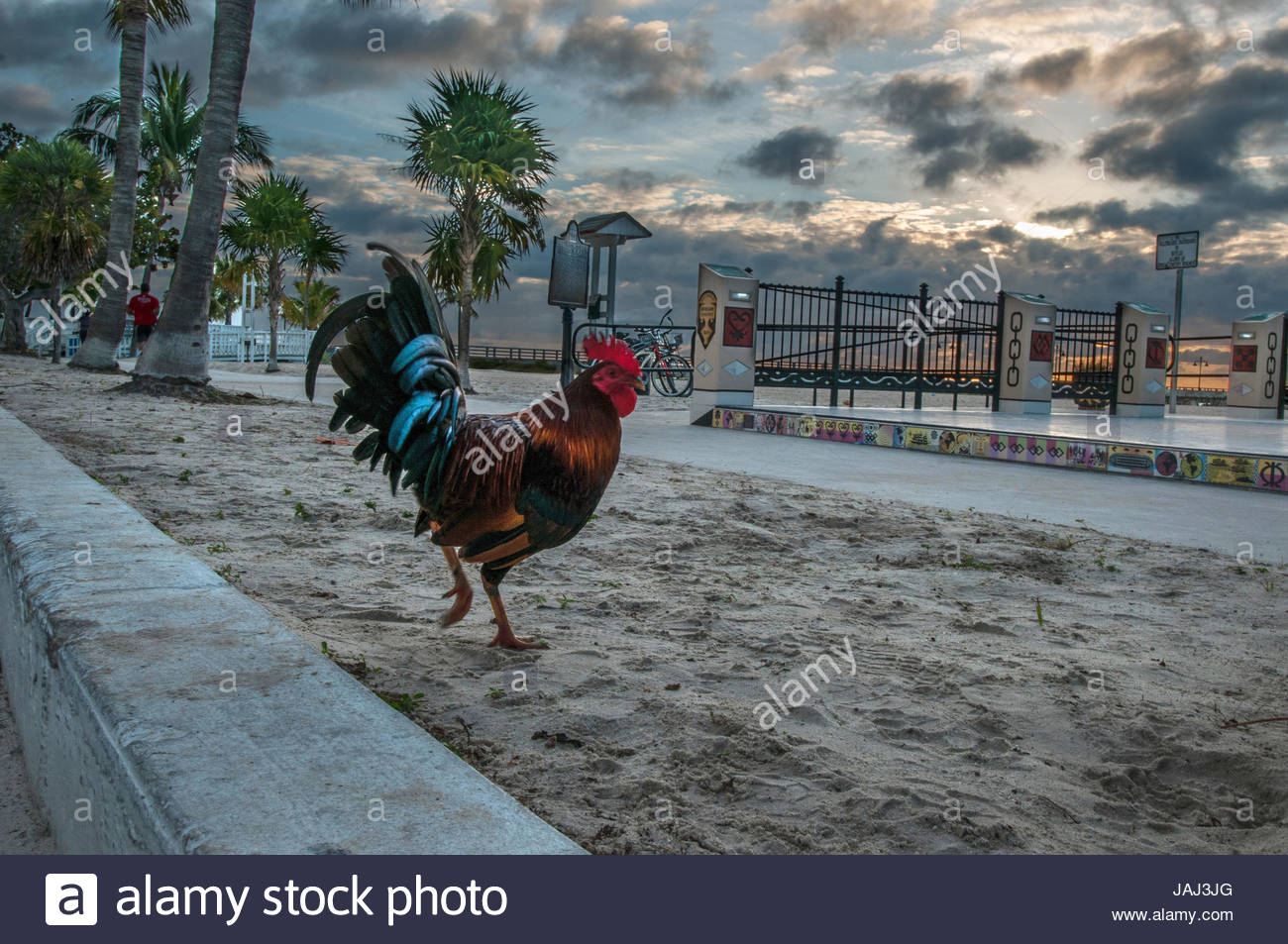 Coq sur Boson de plage de Key West, Floride. Photo Stock