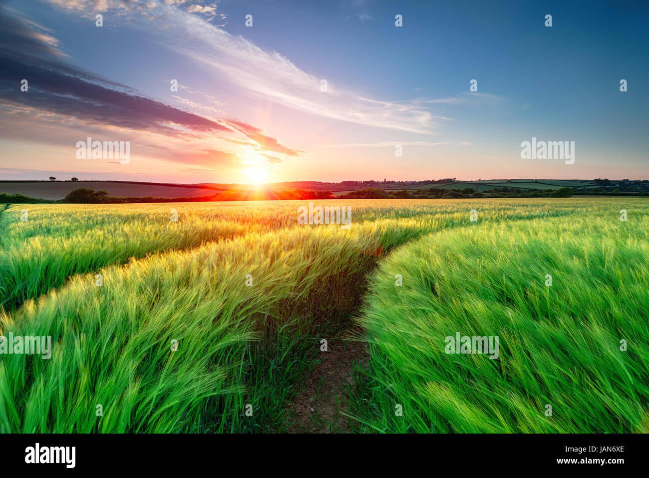 L'été glorieux coucher de soleil sur les champs d'orge de maturation dans la campagne près Photo Stock