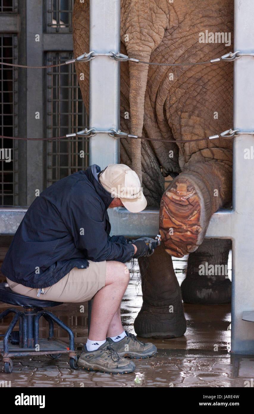 Le nettoyage de la plante des pieds d'éléphant du zoo de San Diego, Californie, Photo Stock