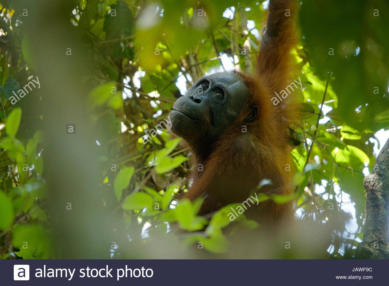Une femelle adulte orang-outan, Pongo pygmaeus, wurmbii repose dans un arbre à Gunung Palung National Park. Photo Stock