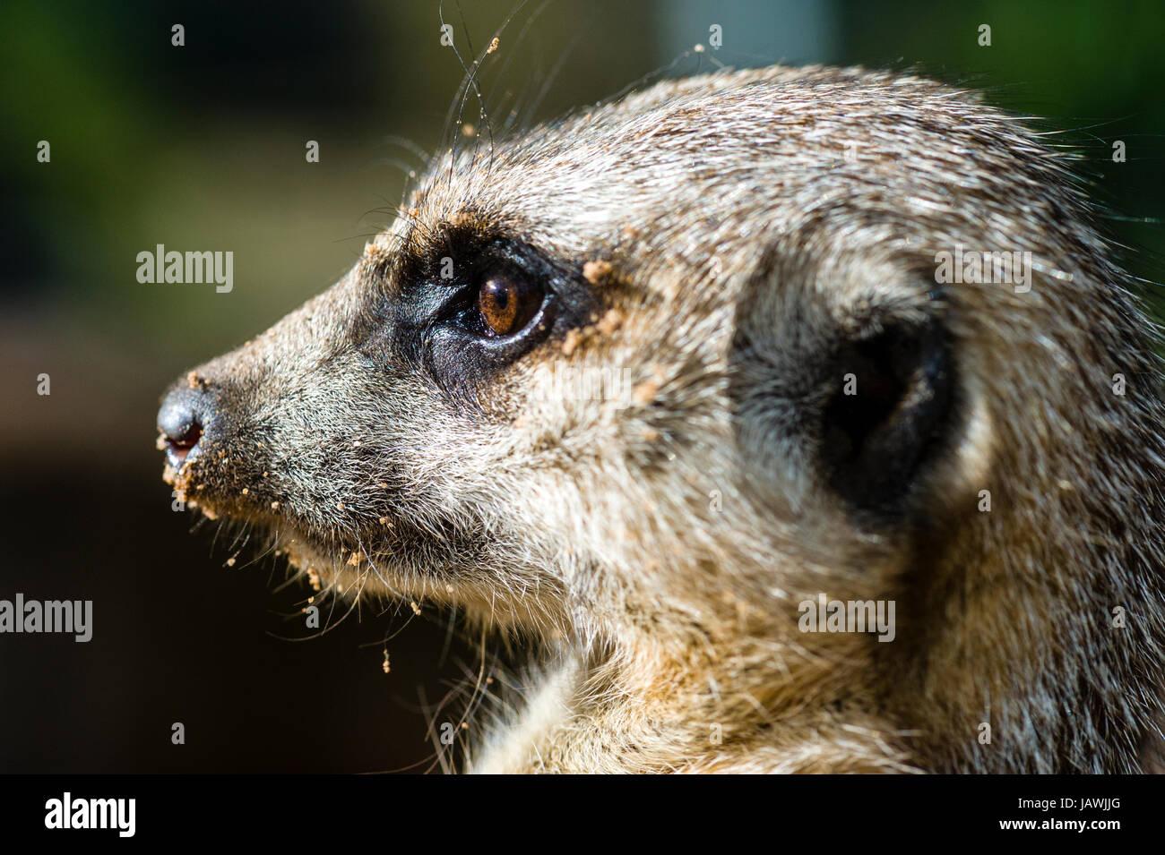 L'œil d'un Meerkat a porté sur quelque chose au loin. Photo Stock