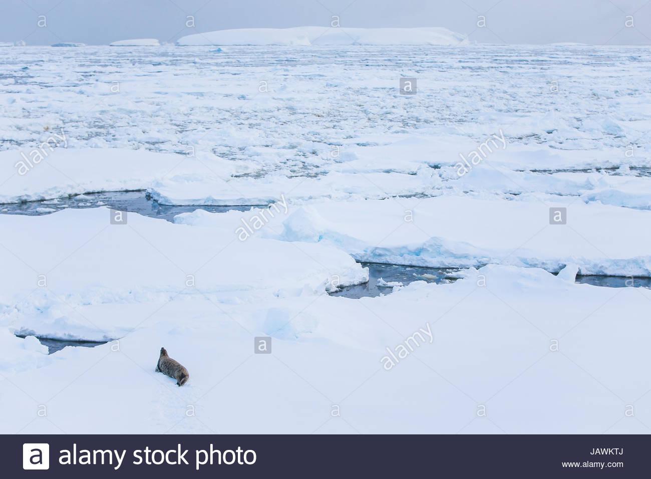 Leopard seal sur le dessus de la glace de mer dans l'Antarctique. Photo Stock