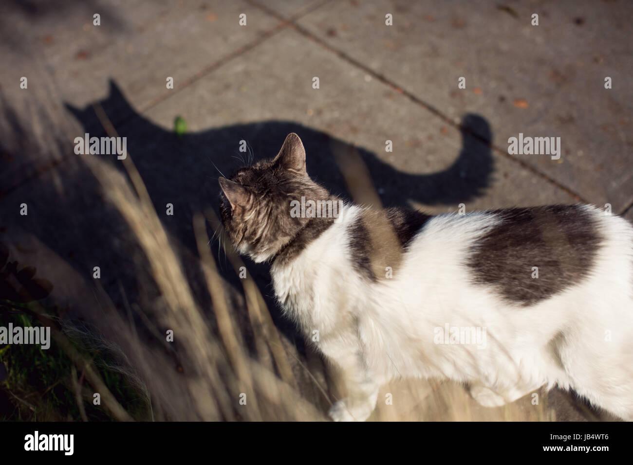 Chat blanc sur trottoir tourné à partir de ci-dessus et l'arrière avec de l'ombre s'étendant en face de chat. L'herbe Banque D'Images