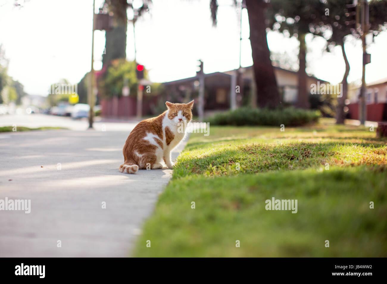 Une orange tabby dans une cour avant fixant prudemment vers la caméra, avec les oreilles de la transmission. Banque D'Images