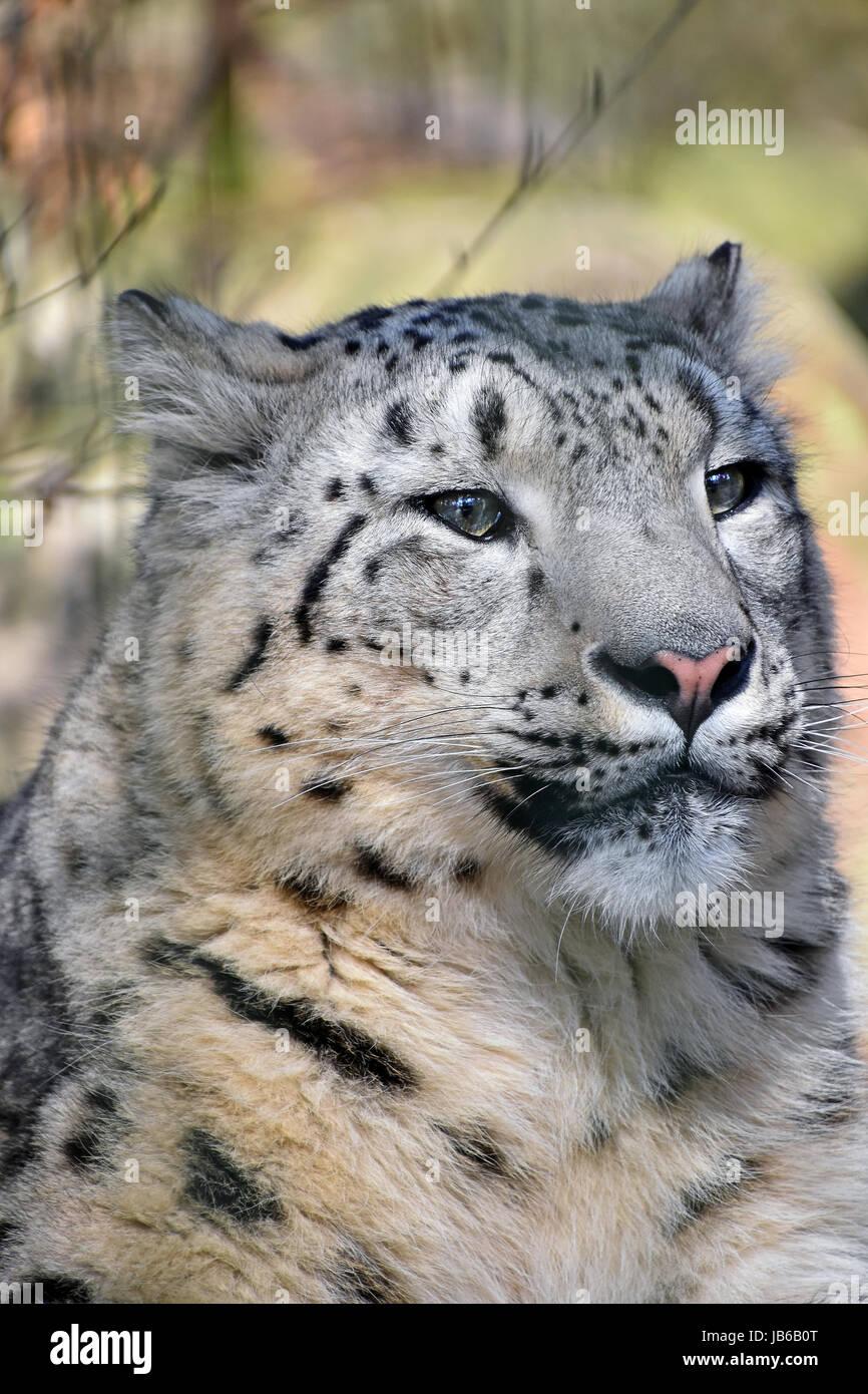 Close up portrait of snow leopard (Panthera uncia ou once, jeune femme à la recherche de côté) de Photo Stock