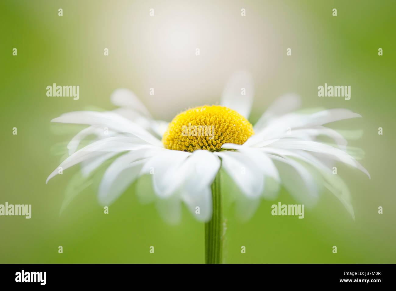 Close Up Creative Image De La Marguerite Blanche Fleur Blanche