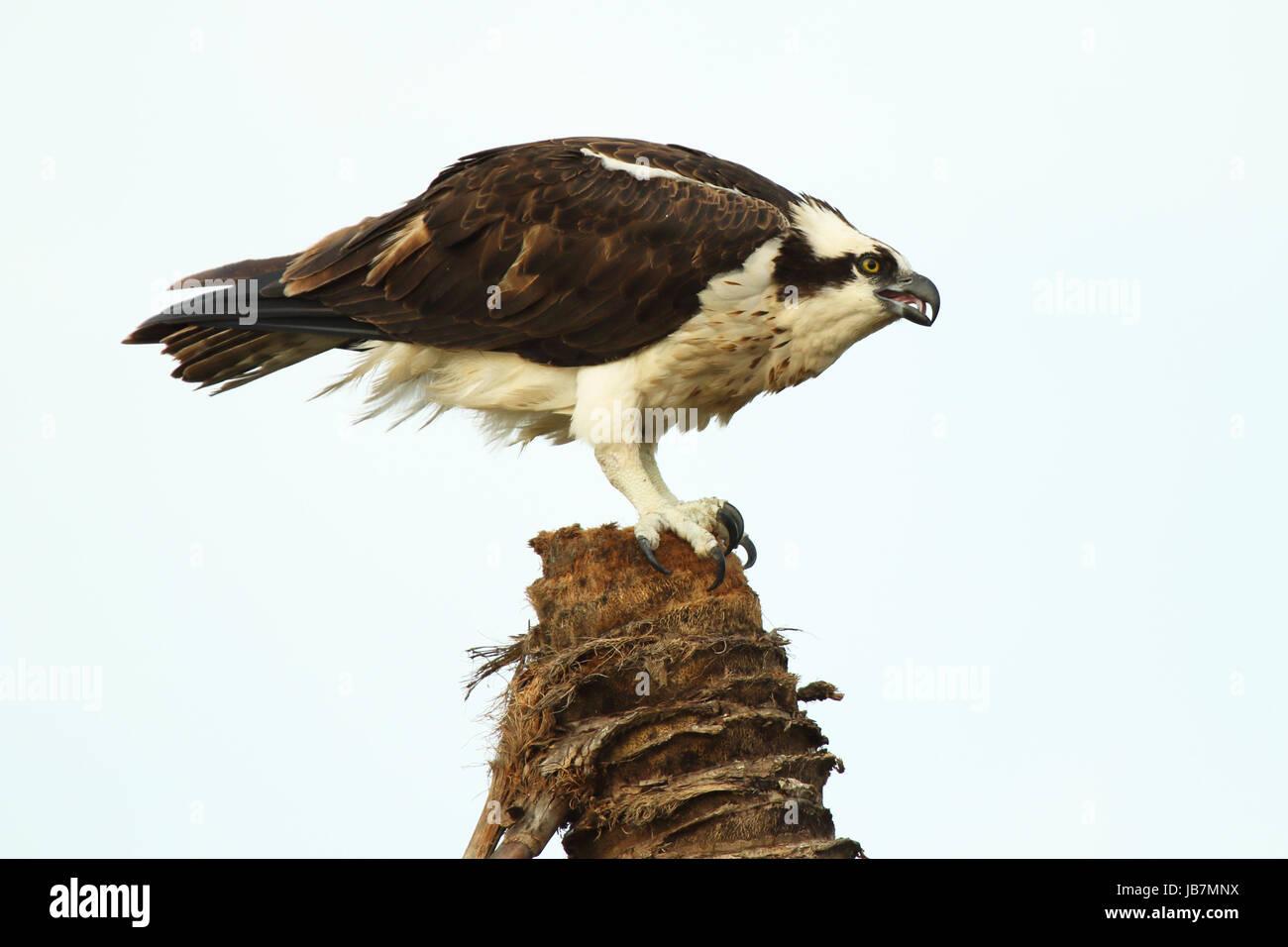 f31477a639f6 Un balbuzard penché en arrière tout en appelant depuis un palmier dans les  Everglades de Floride