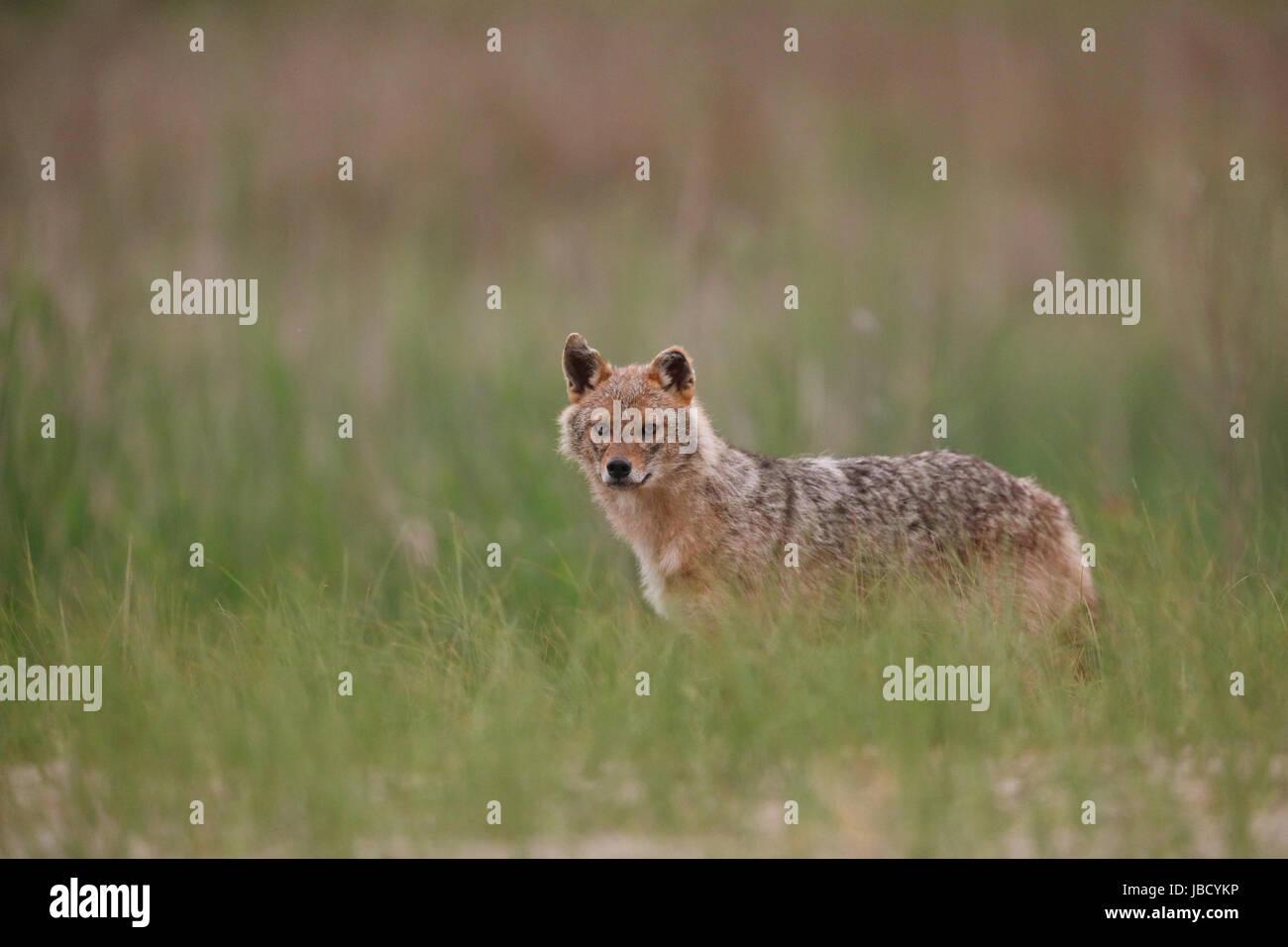 Le chacal doré ou européenne Jackal (Canis aureus) Banque D'Images