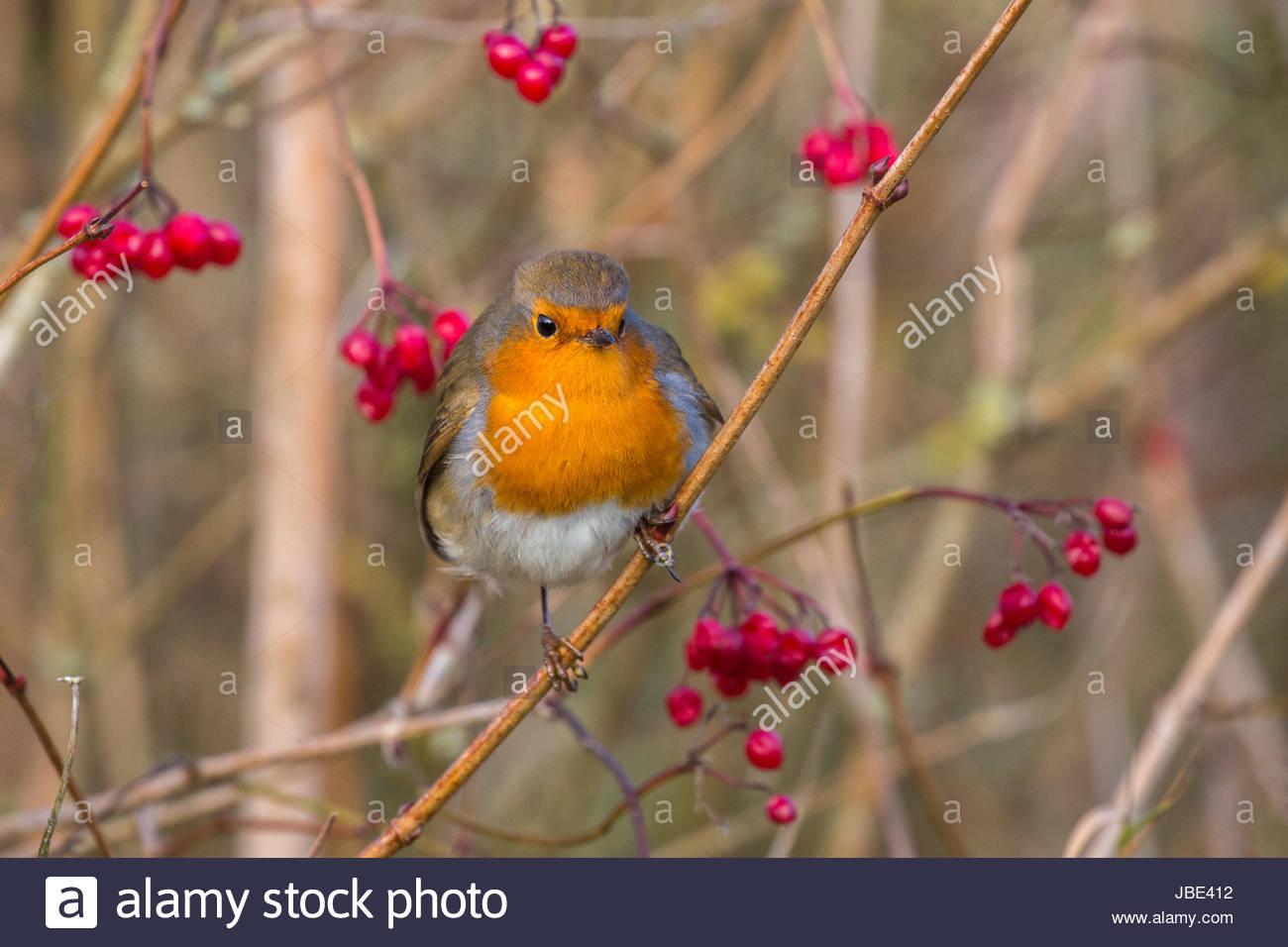 Robin (Erithacus rubecula aux abords) avec baies d'hiver, Wildfowl & Caerlaverock Wetland Trust, Dumfries et Galloway, Banque D'Images