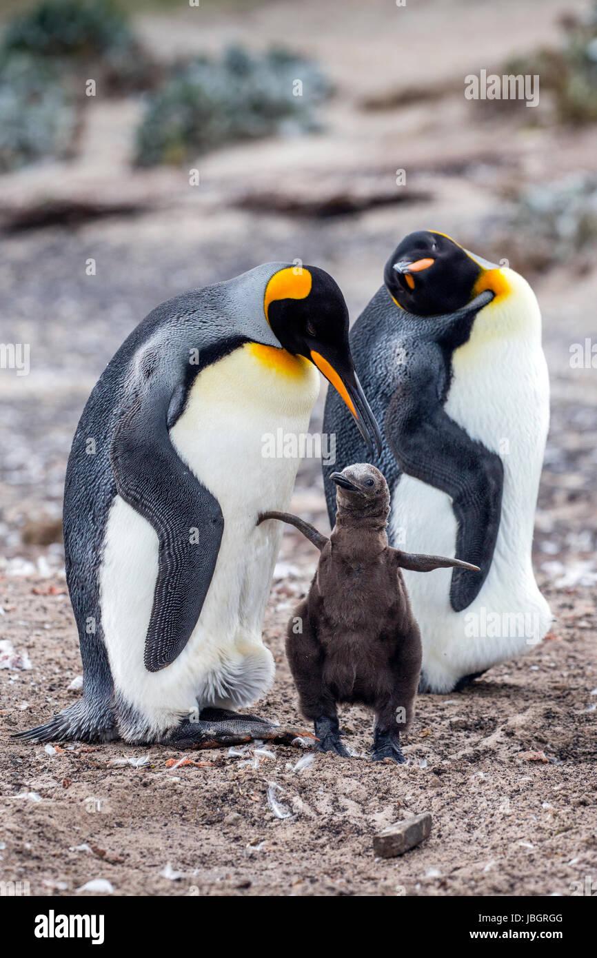 La famille King penguin Sur Iles Falkland Banque D'Images