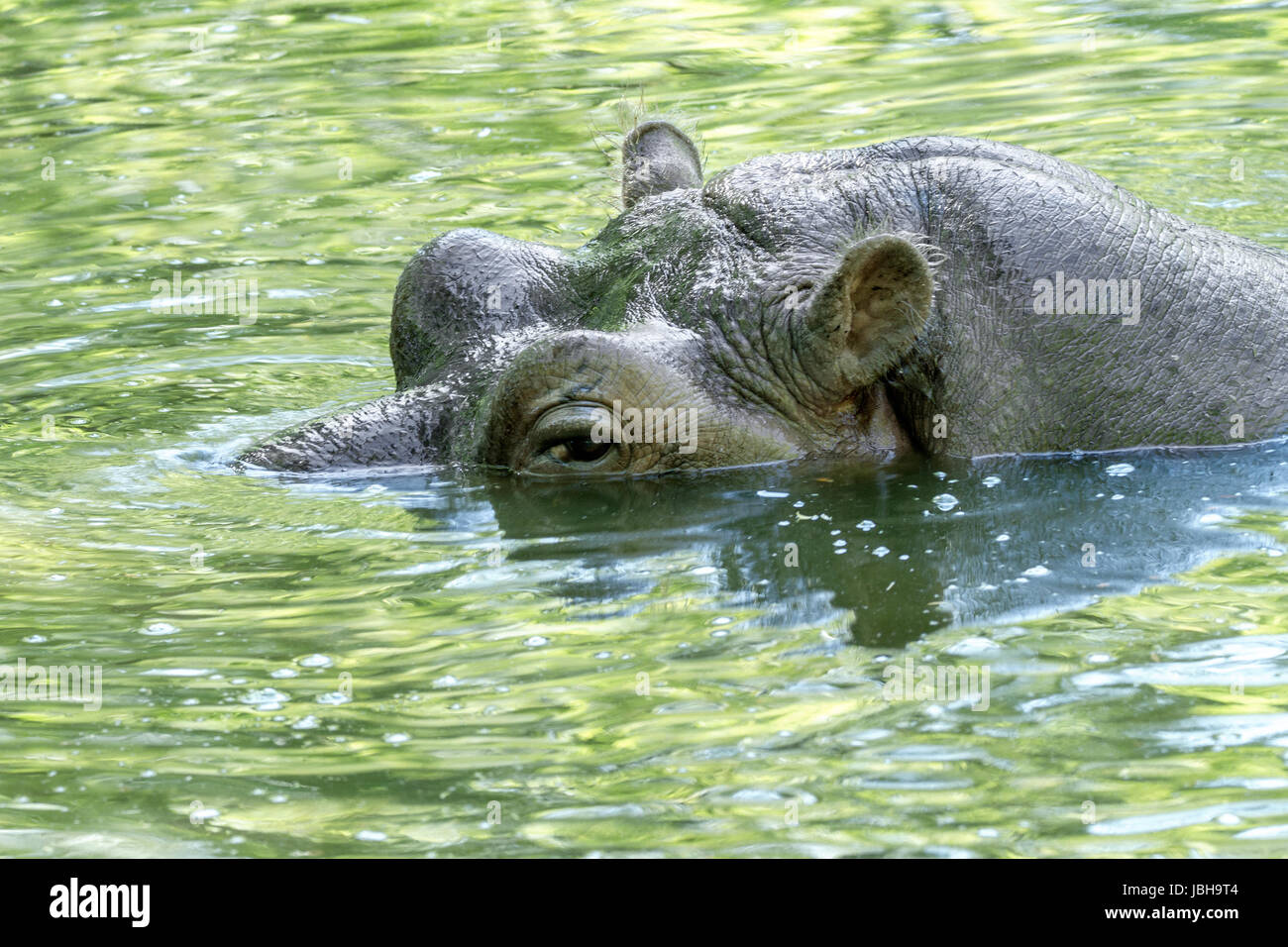 Image d'un grand mammifère d'un animal sauvage, d'hippopotame dans l'eau Photo Stock