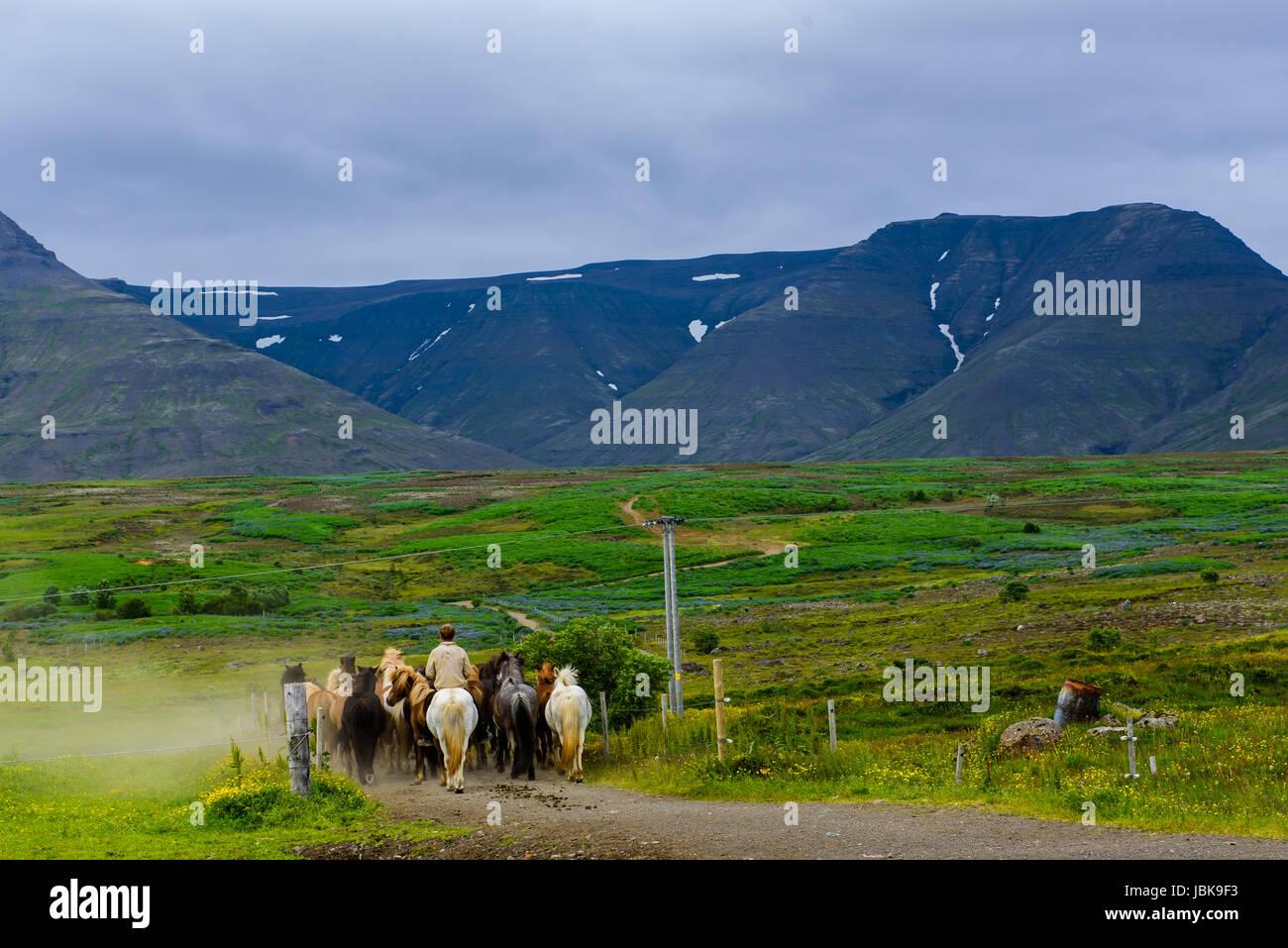 Chevaux Islandais aller au pâturage à meadow en montagnes. L'Islande. Photo Stock